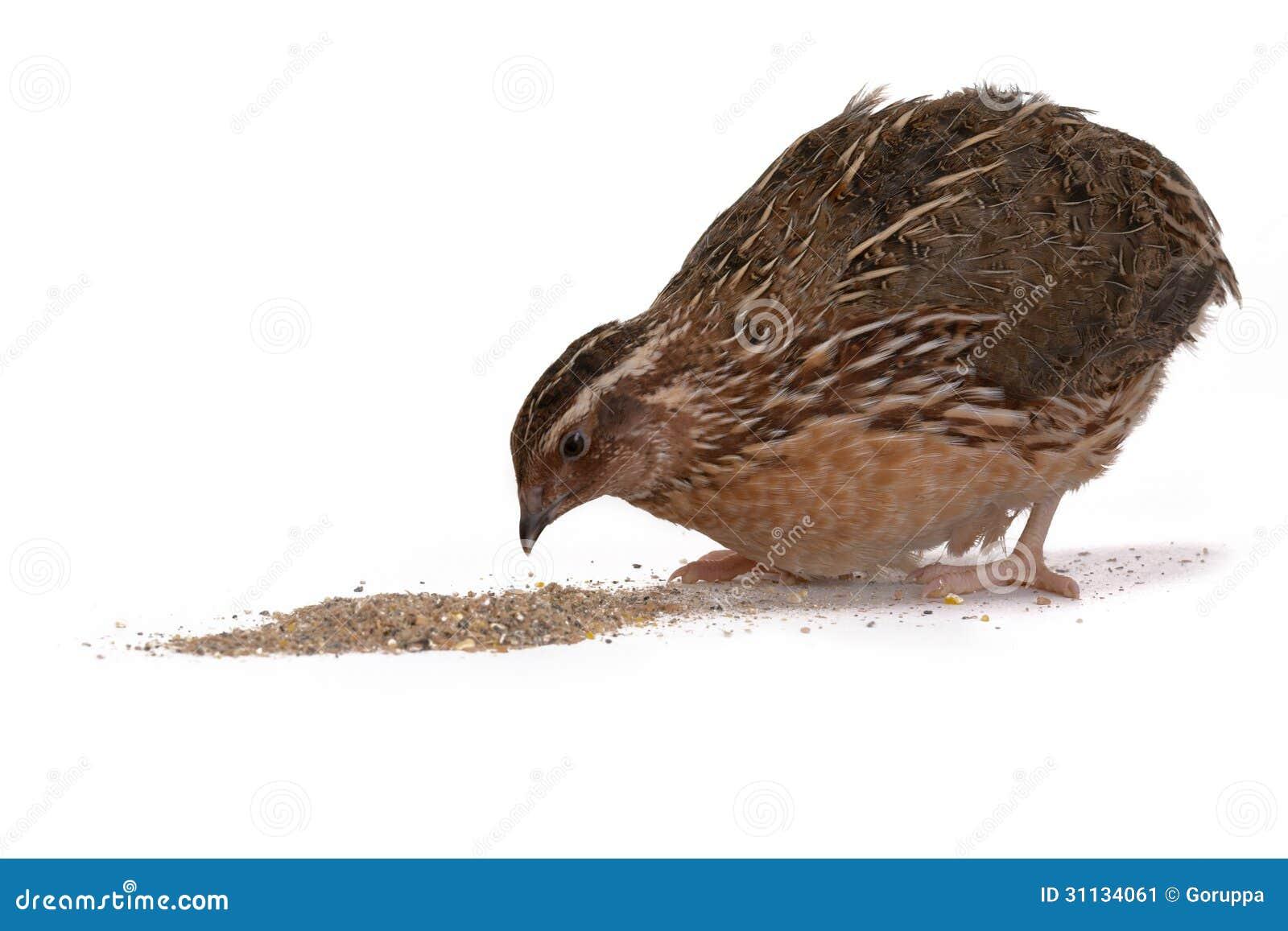 Japanese quail  Quail Bird Clipart