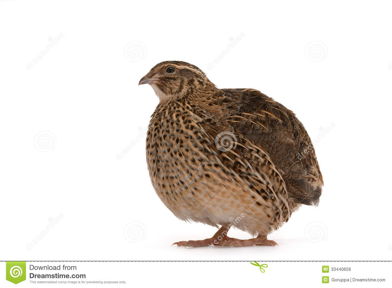 ... quail on a white background. A bird that lays the Golden eggs