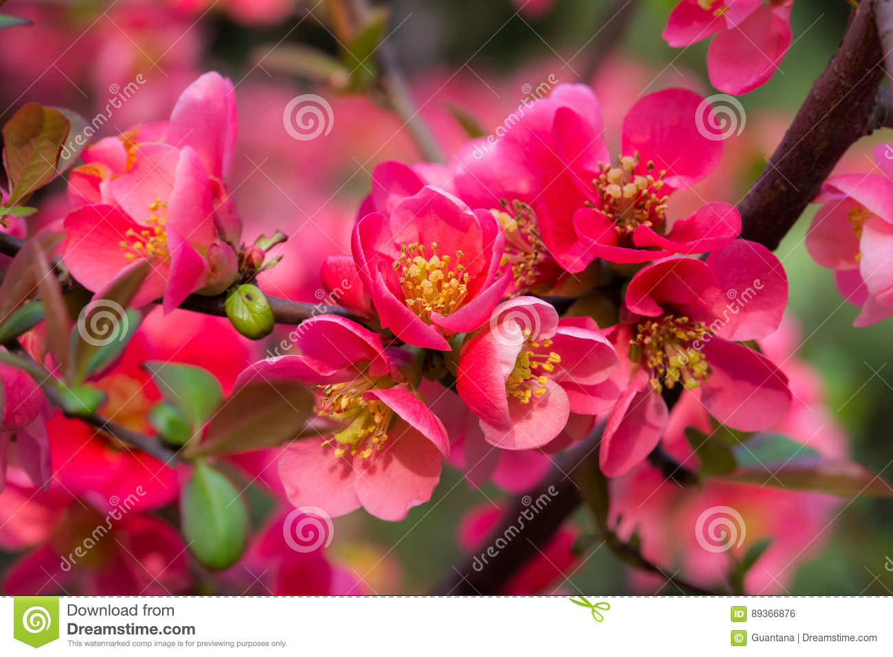 Japanese quince in blossom spring flowers stock photo image of download japanese quince in blossom spring flowers stock photo image of beauty natural mightylinksfo