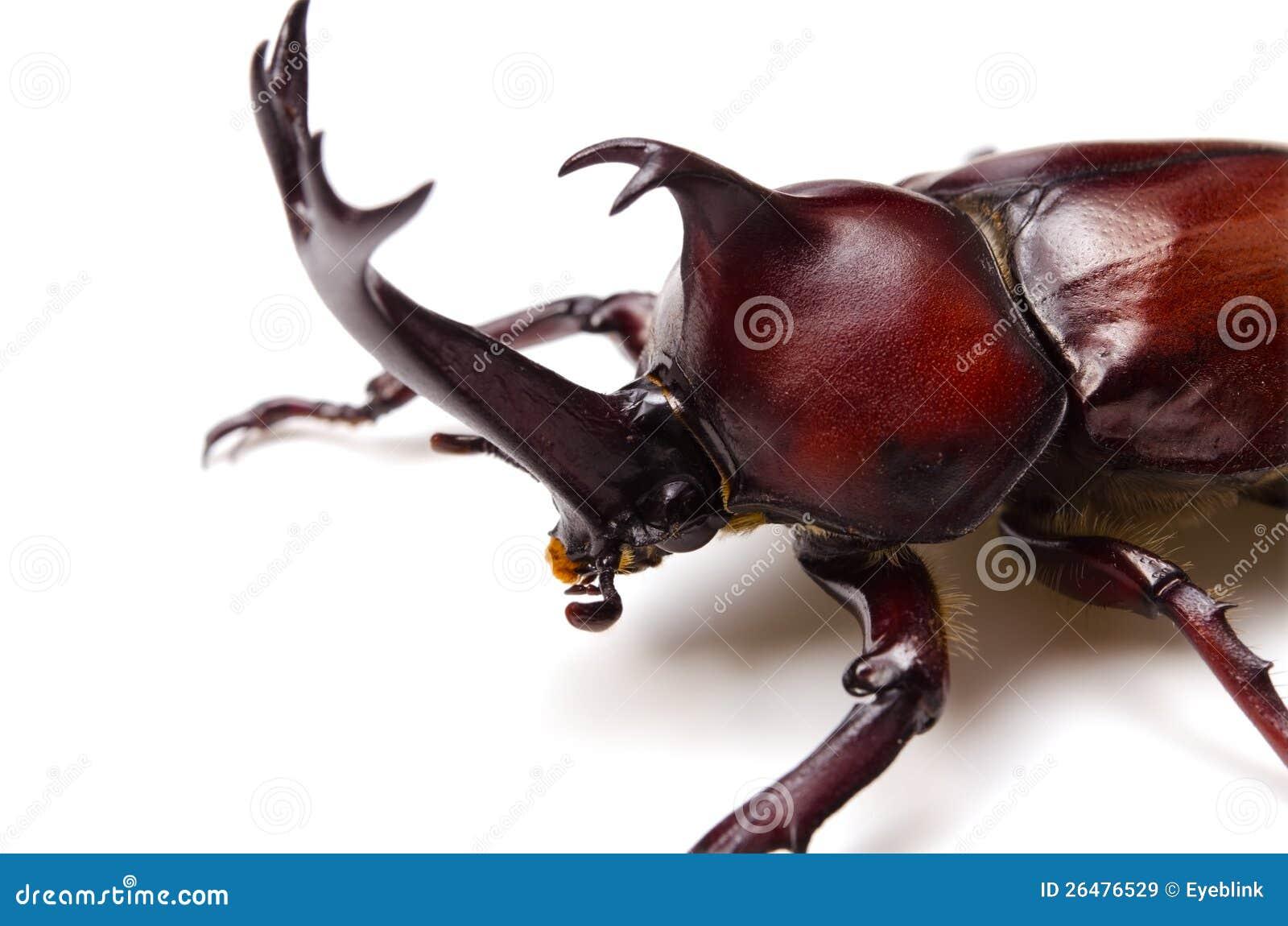 Japanese rhinoceros beetle stock image  Image of hexapod