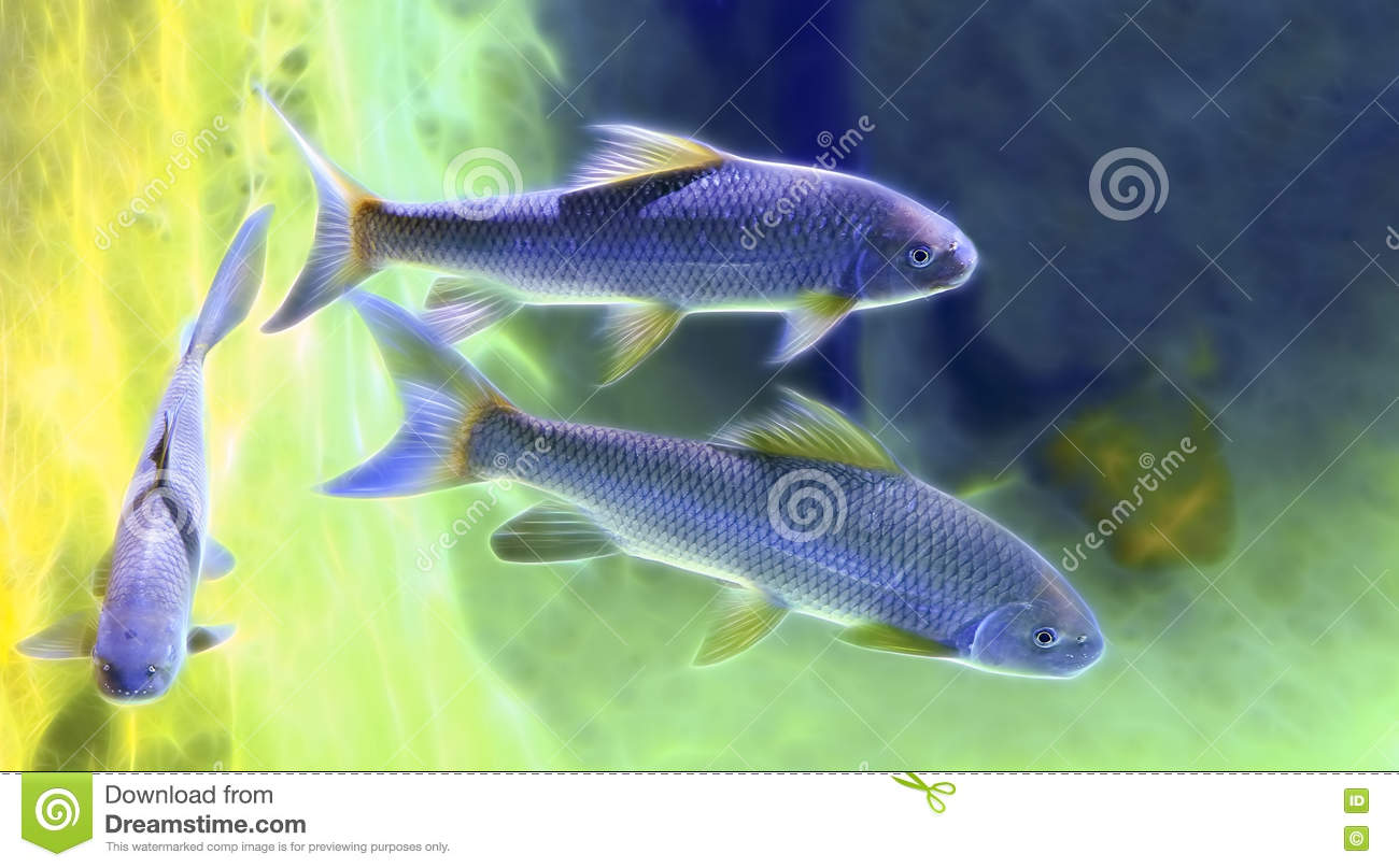 Japanese rock carp fish stock image image of scales for Carp in a fish tank