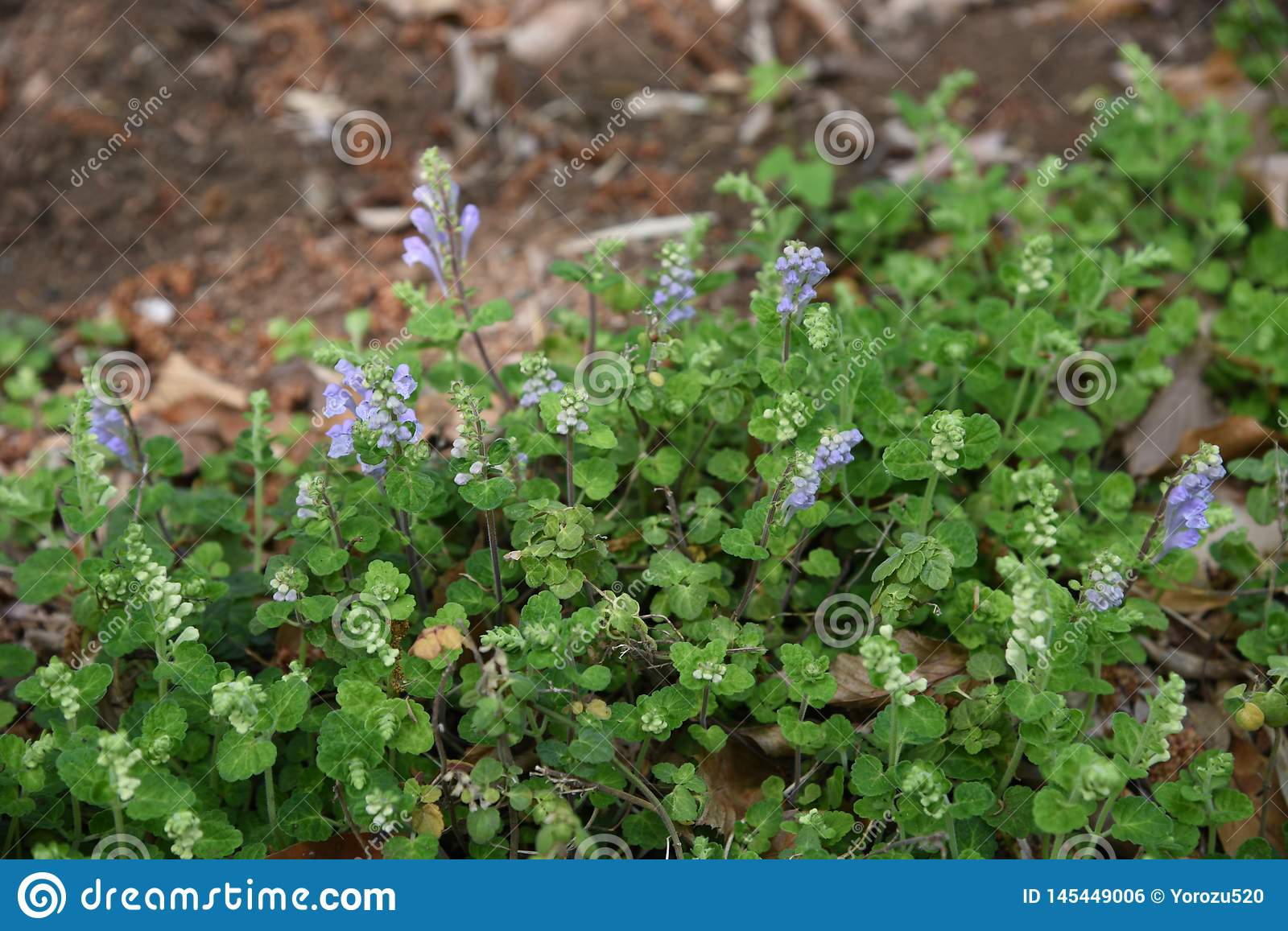 Japanese skullcap flowers stock photo  Image of background - 145449006