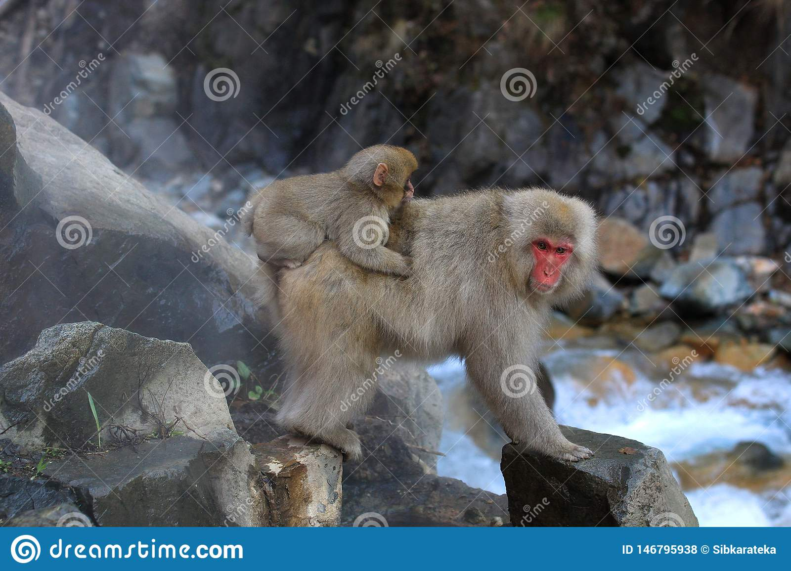 Japanese snow monkey with baby