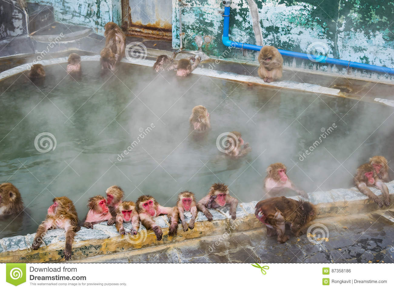 Japanese Snow monkey Macaque in hot spring On-sen , Hakodate, Japan