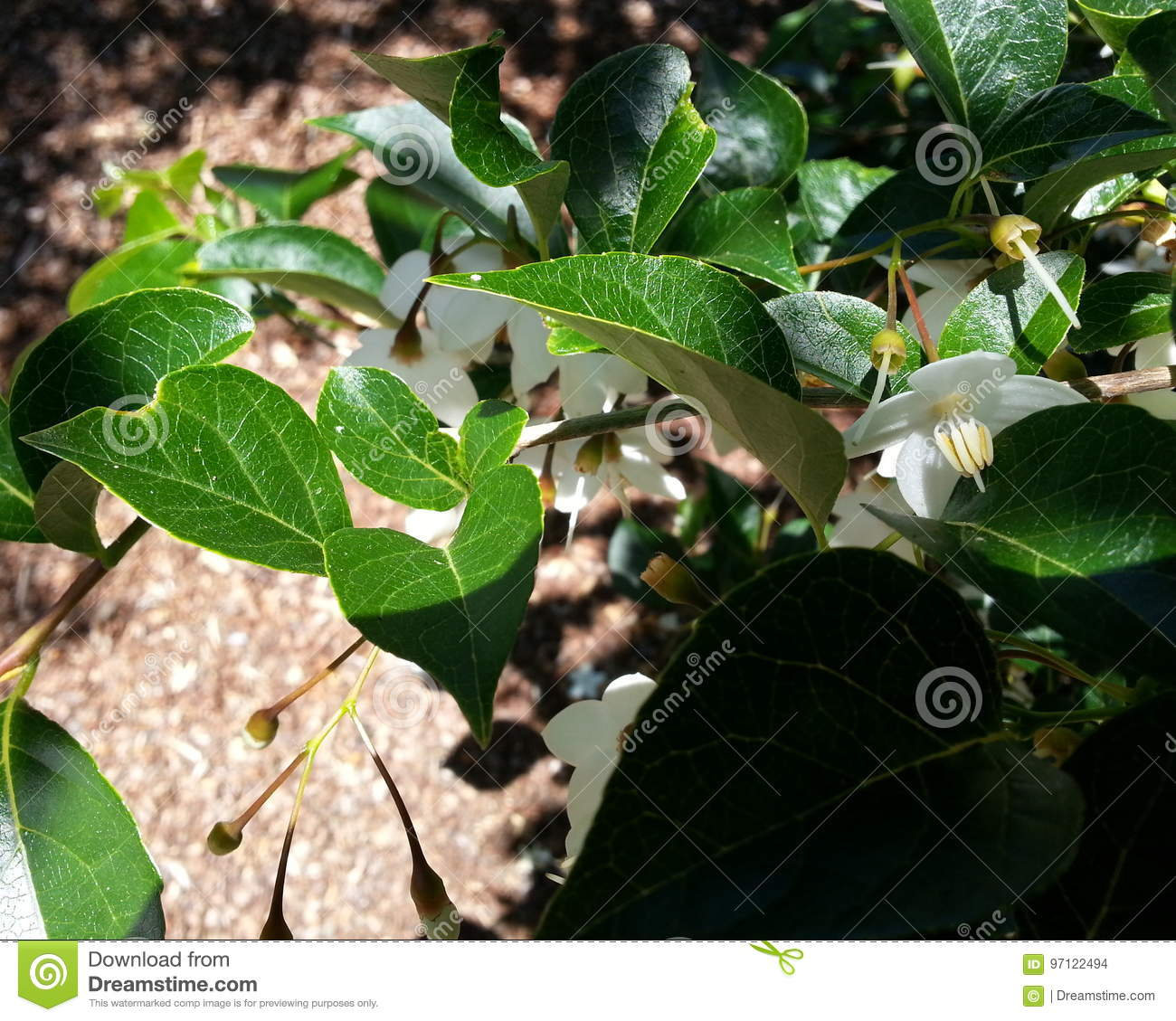 Japanese Snowbell Tree Flowers And Leaves Stock Photo Image Of
