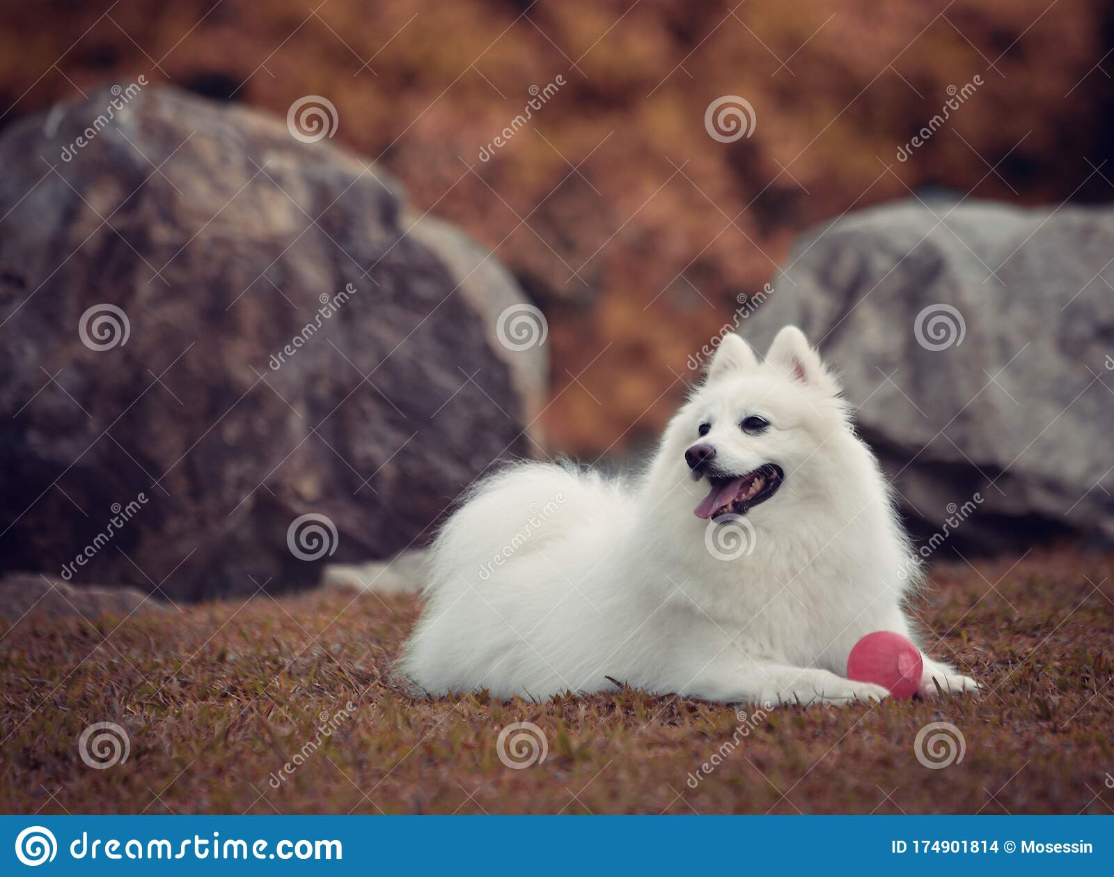 969 Japanese Spitz Dog Photos Free Royalty Free Stock Photos From Dreamstime
