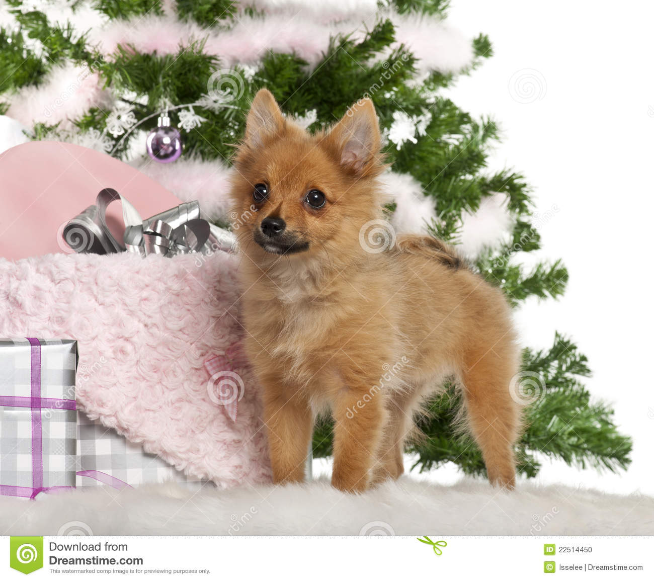 Japanese Spitz Puppy 4 Months Old With Stock Photo Image Of