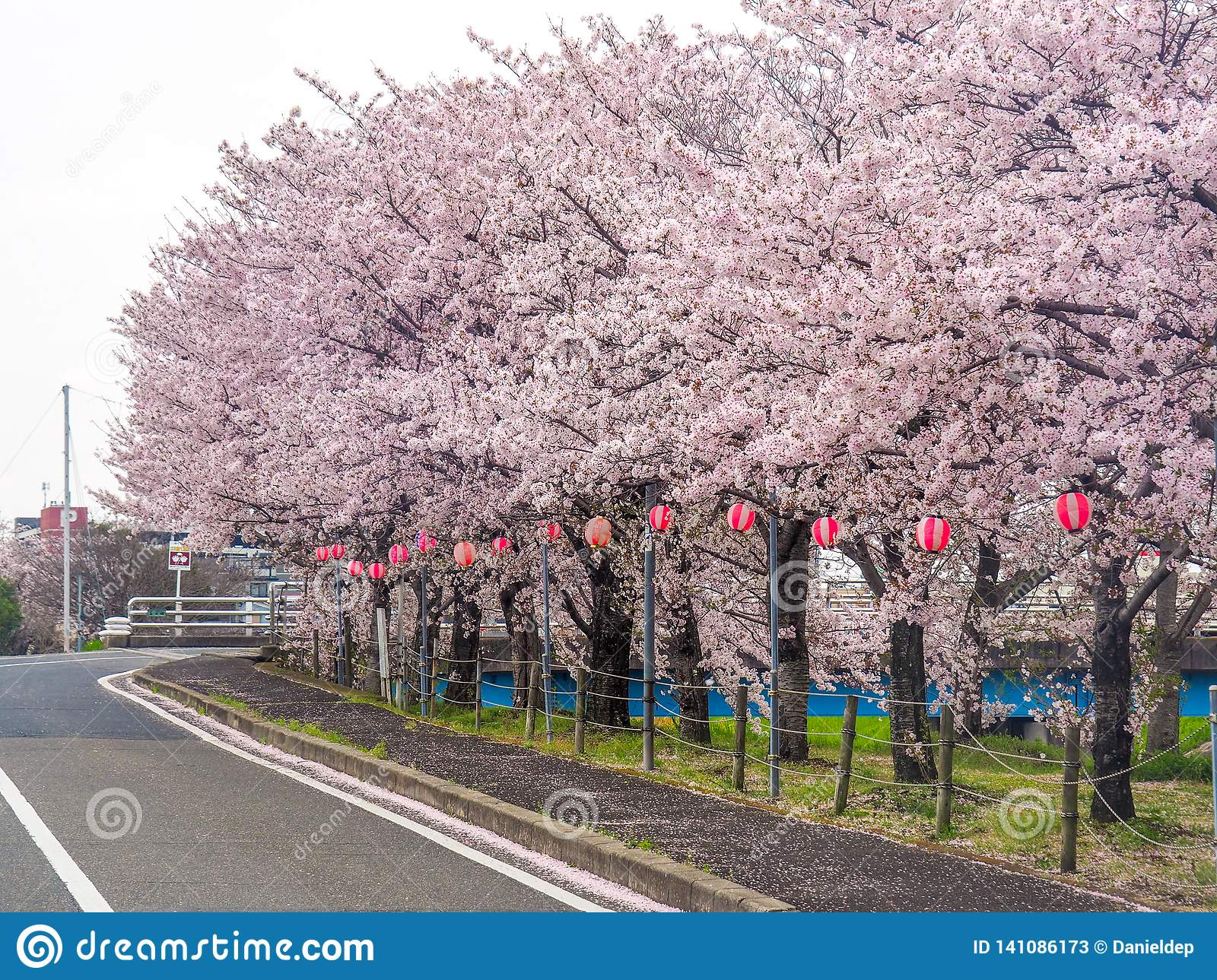 Japanese Street Lined With Cherry Blossoms Stock Image Image Of