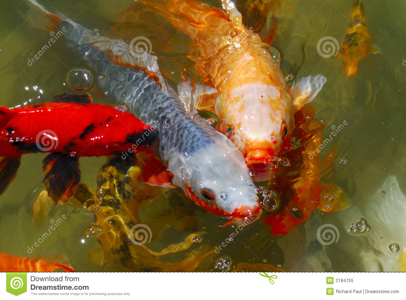 japanese tea garden koi fish royalty free stock photo