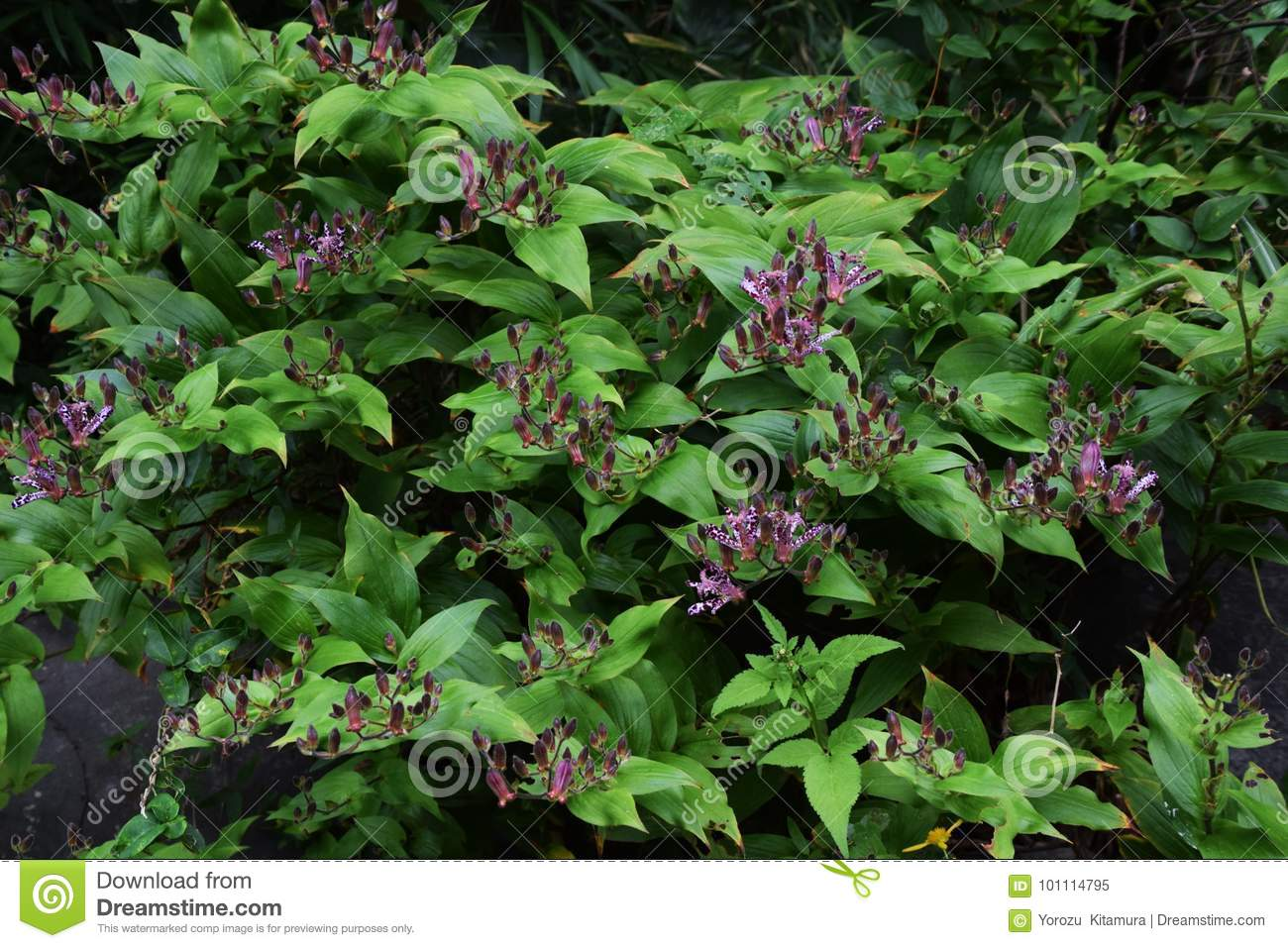 Japanese toad lily stock image image of flowers natural 101114795 japanese toad lily flowers natural izmirmasajfo