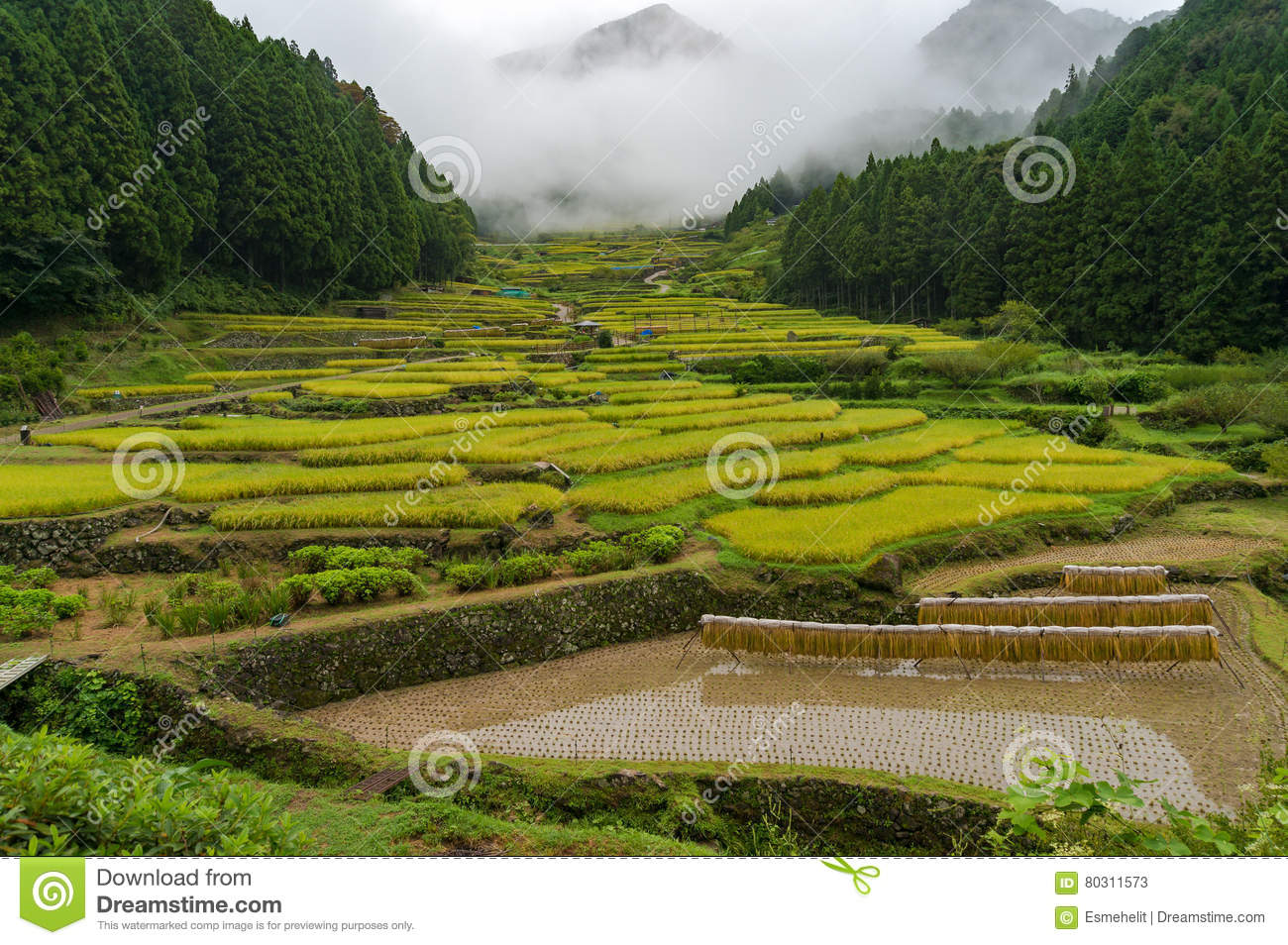 Japanese Traditional Agriculture Landscape Of Terrace Rice Paddy