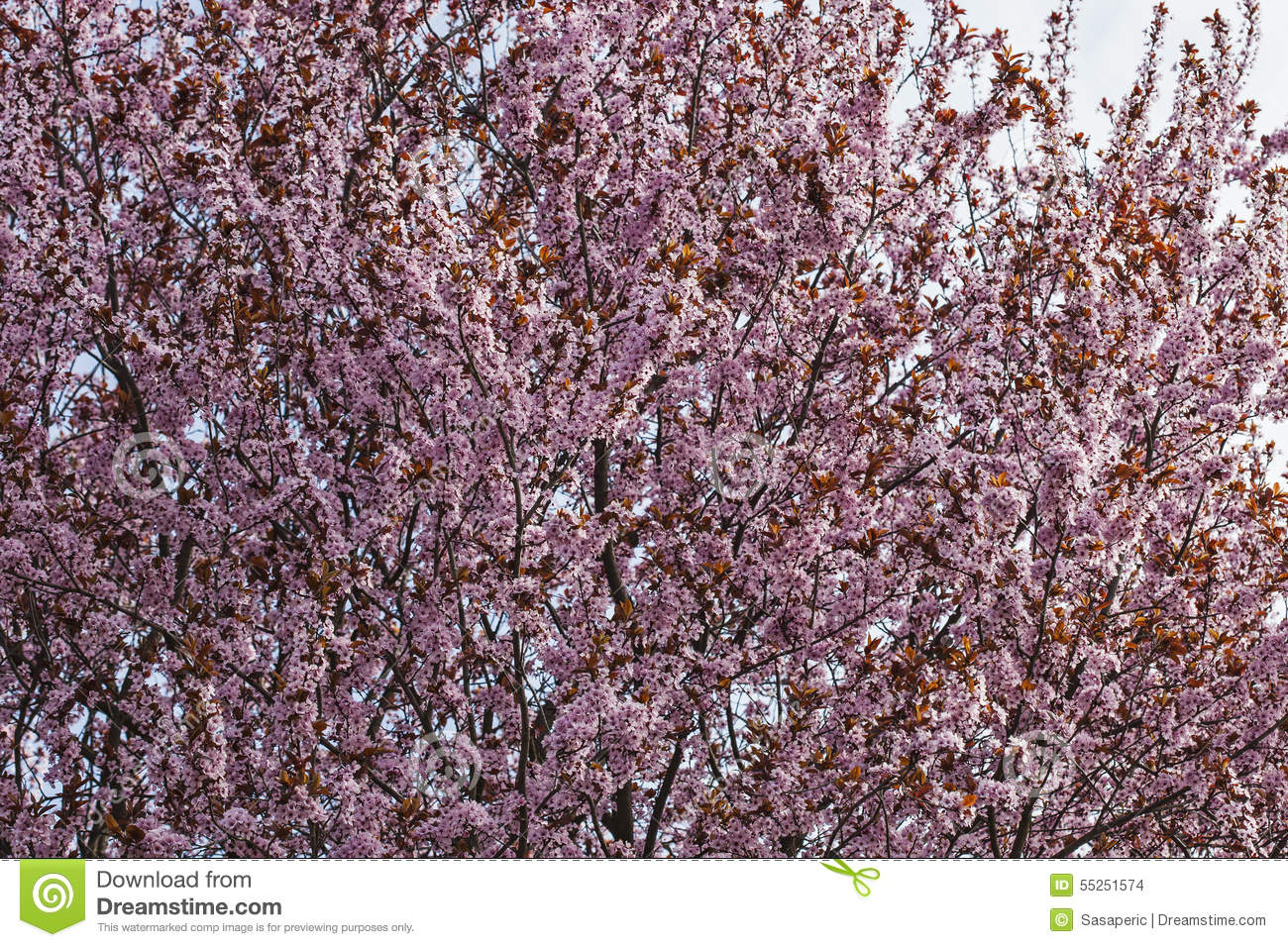Japanese Tree Top Blossom Pink Flowers Background Texture Stock