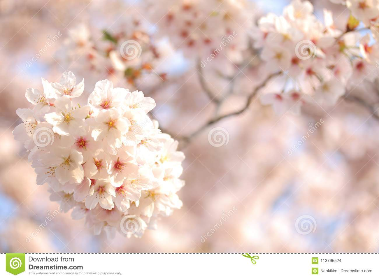 Japanese Cherry Blossom Tree Full Blooming Or Spring Background