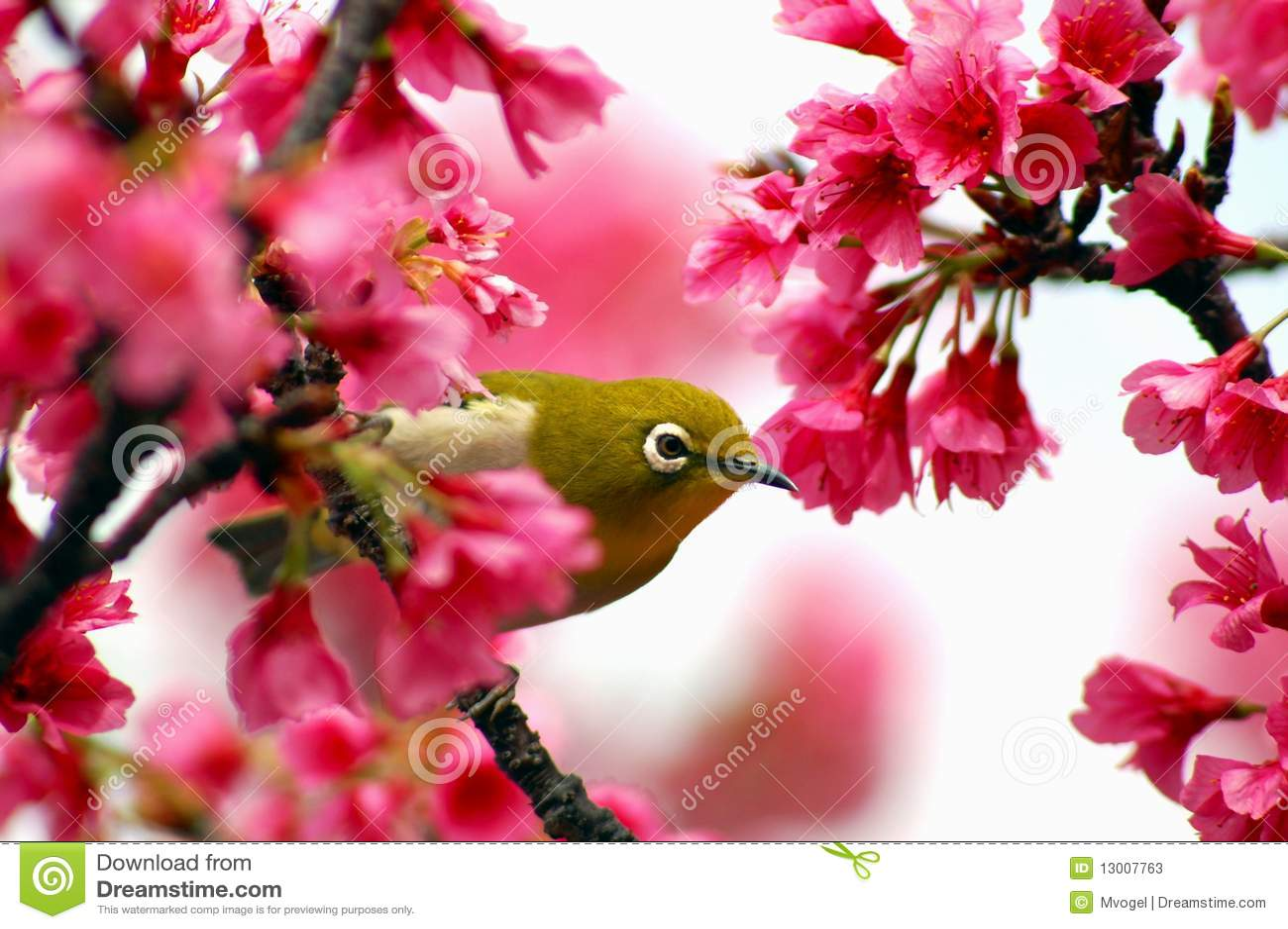 Japanese White Eye on a Cherry Blossom Tree