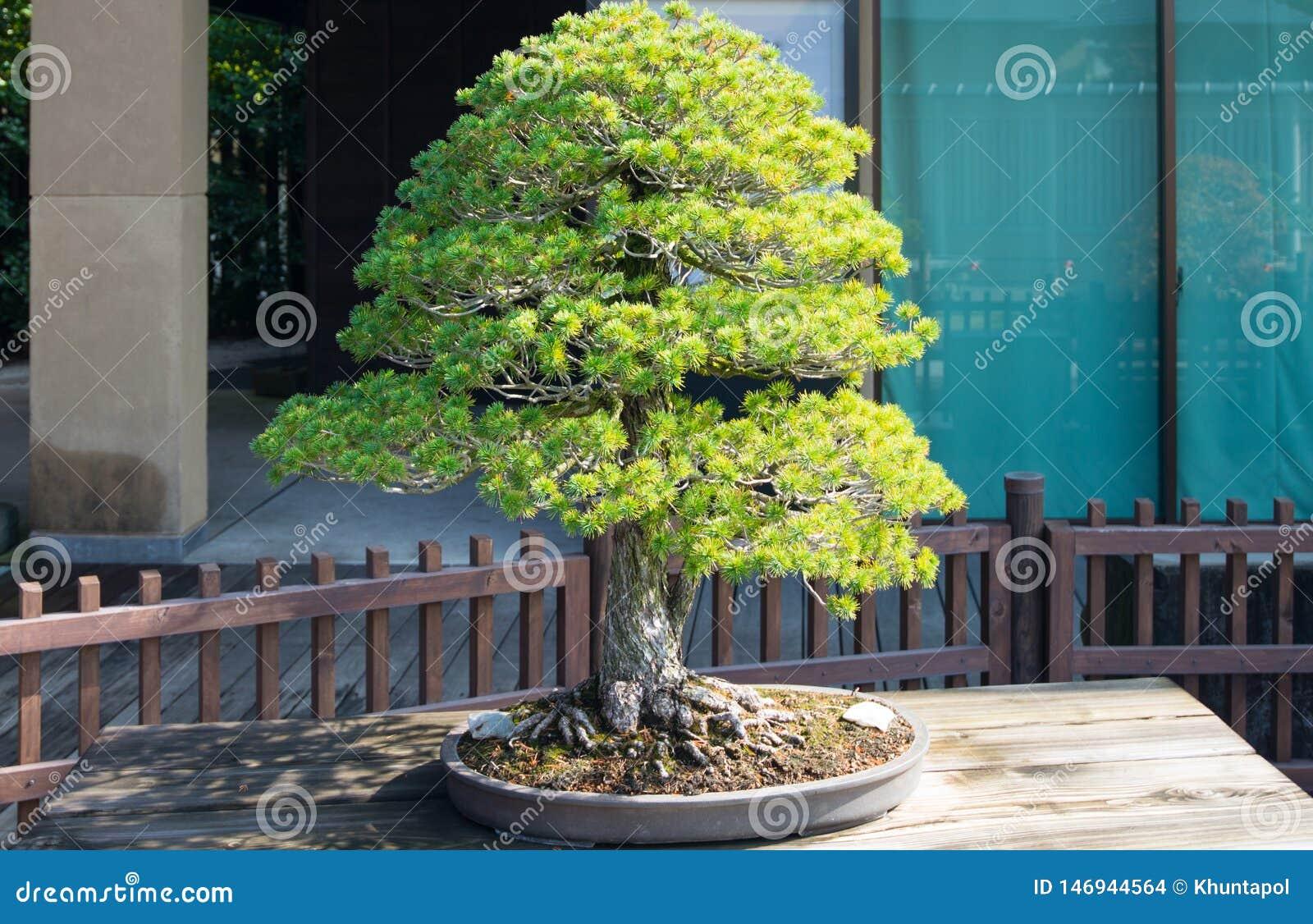 Japanese White Pine Bonsai Tree In Omiya Bonsai Village Stock Photo Image Of Juniper Hobby 146944564