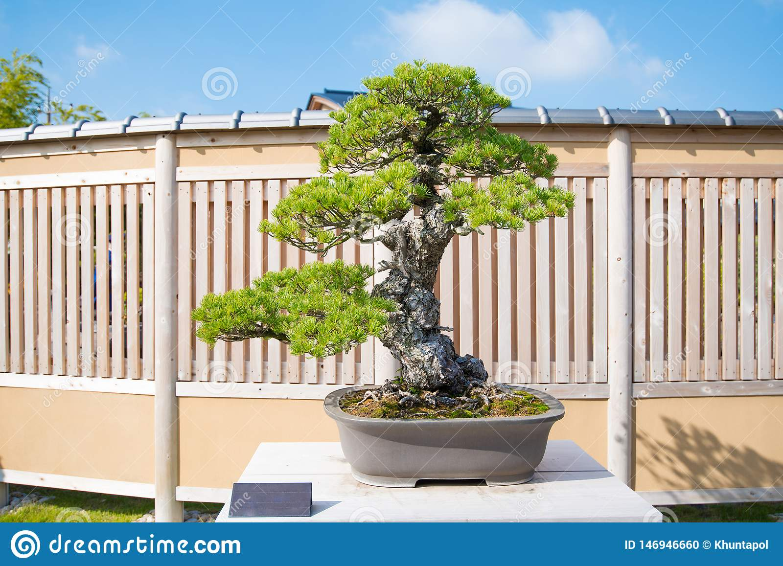 Japanese White Pine Bonsai Tree In Omiya Bonsai Village Stock Photo Image Of Maple Cultivated 146946660