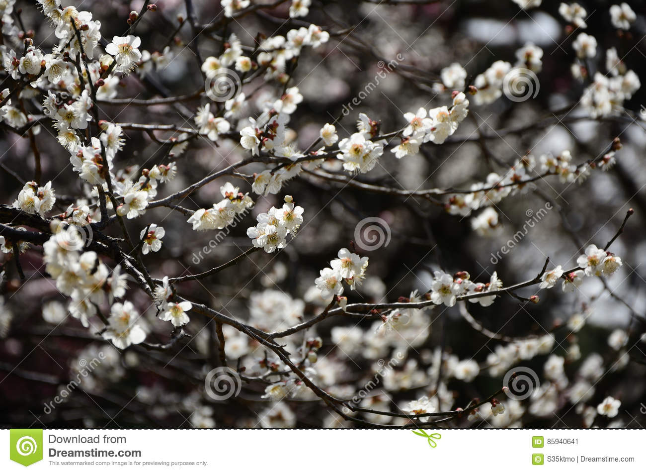 Japanese White Plum Flowers Kyoto Japan Stock Image Image Of