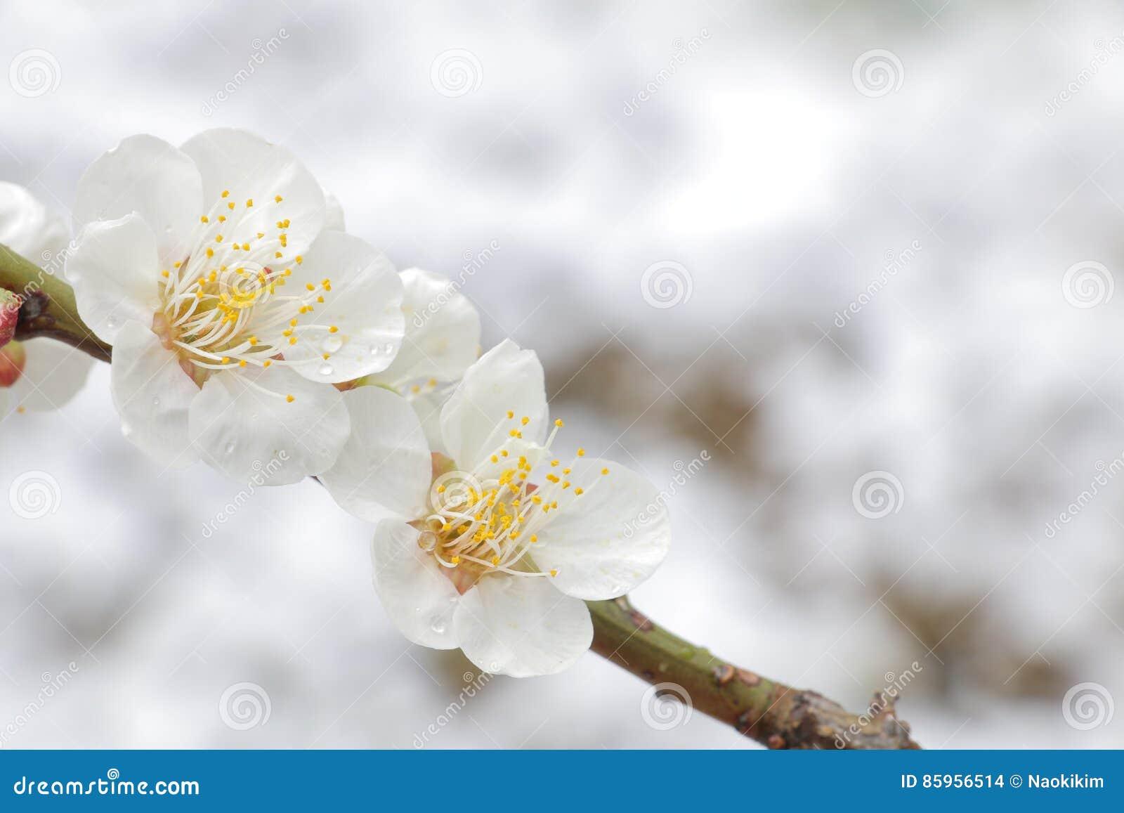Japanese White Plum On Snow Background Stock Photo Image Of