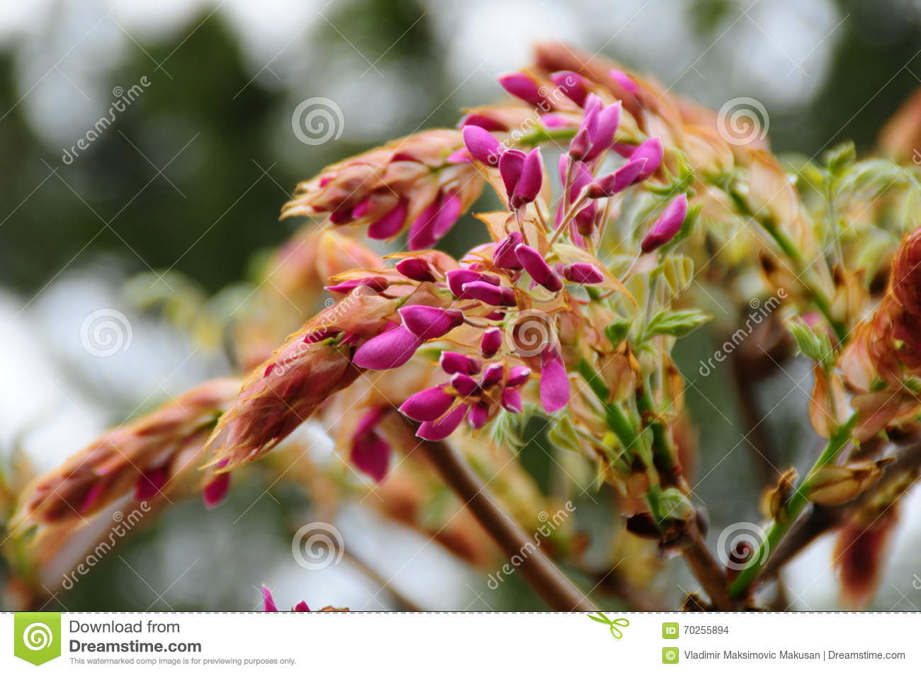 Japanese Wisteria Flower Bud Stock Photo Image Of Purple