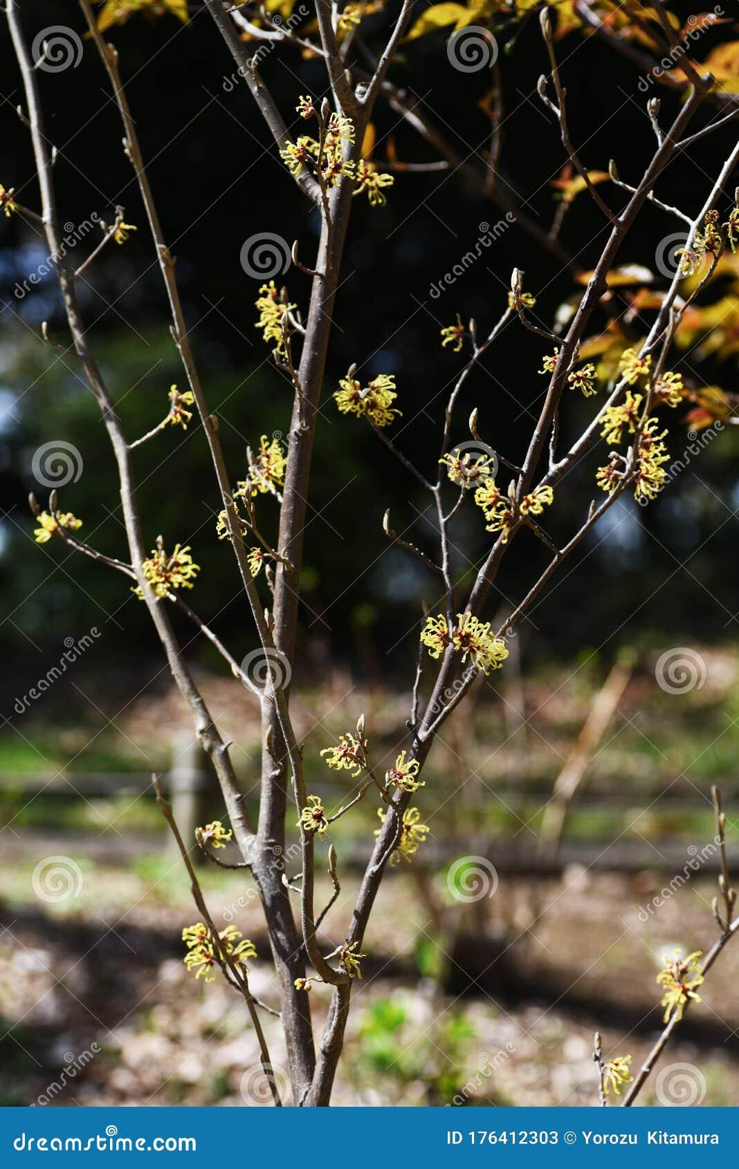 Japanese Witch Hazel Hamamelis Japonica Stock Image Image Of