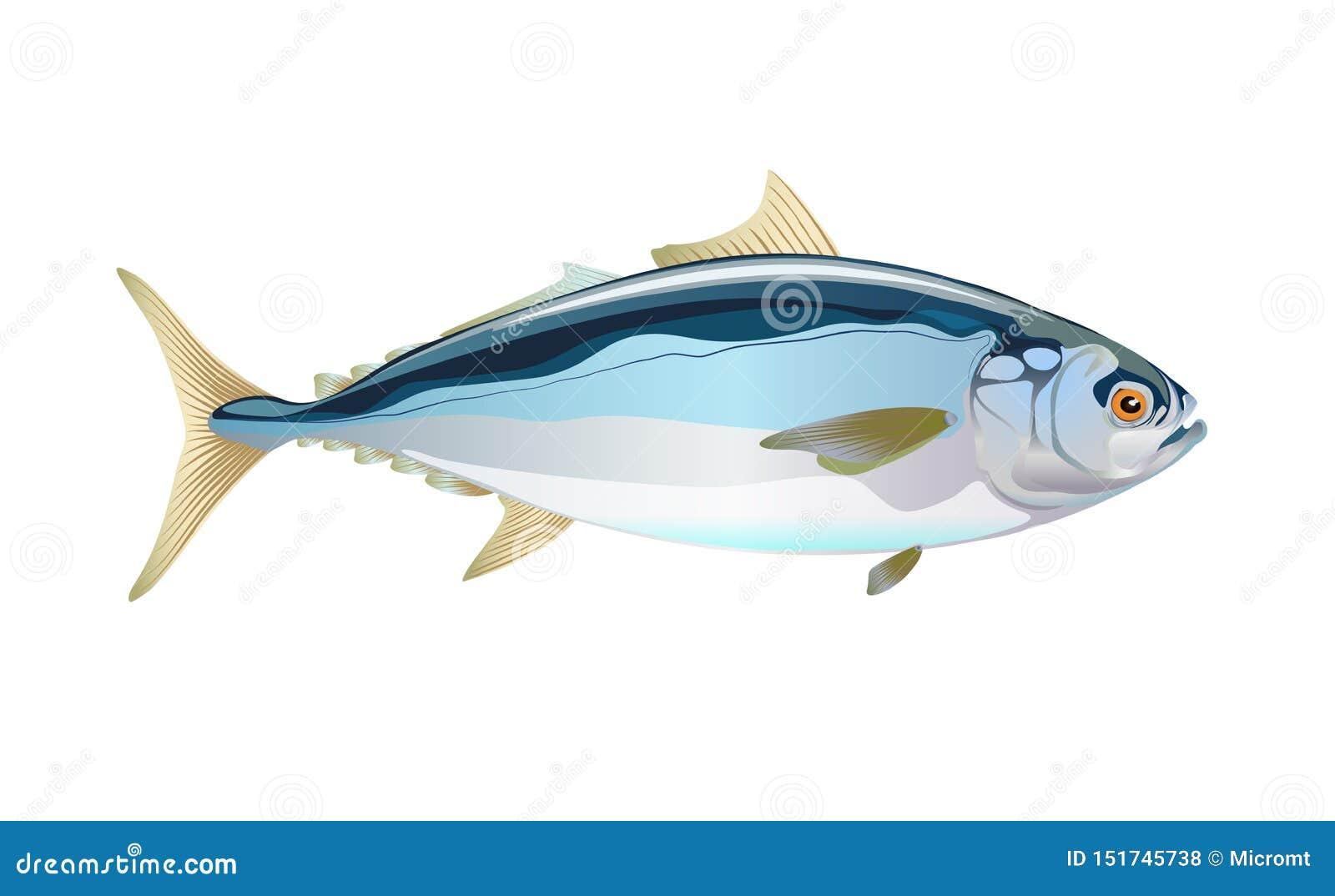 Japanese Yellowtail Fish, Isolated Flat On Light Background