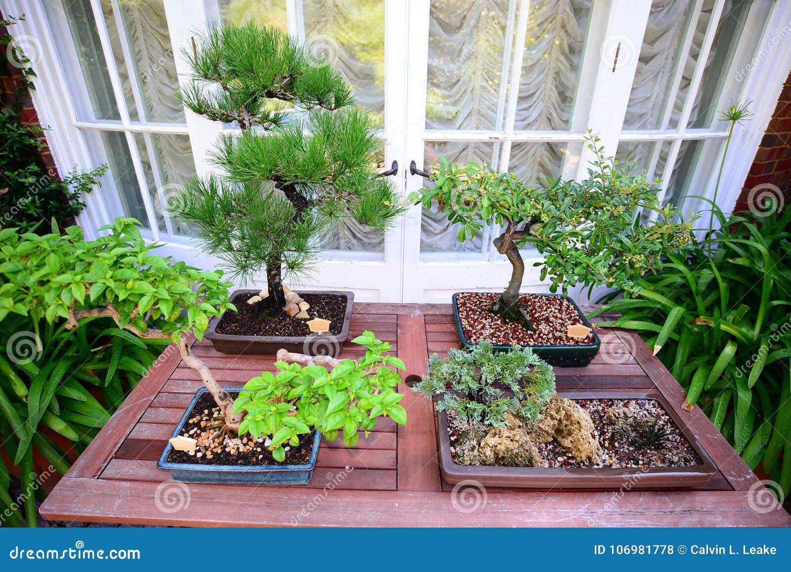 Japanische Bonsai-Miniatur-Bäume