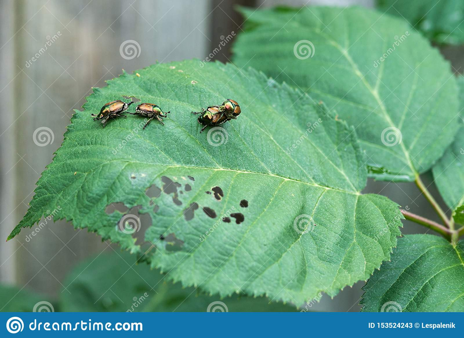 Japanische Käfer auf einem Brombeerblatt