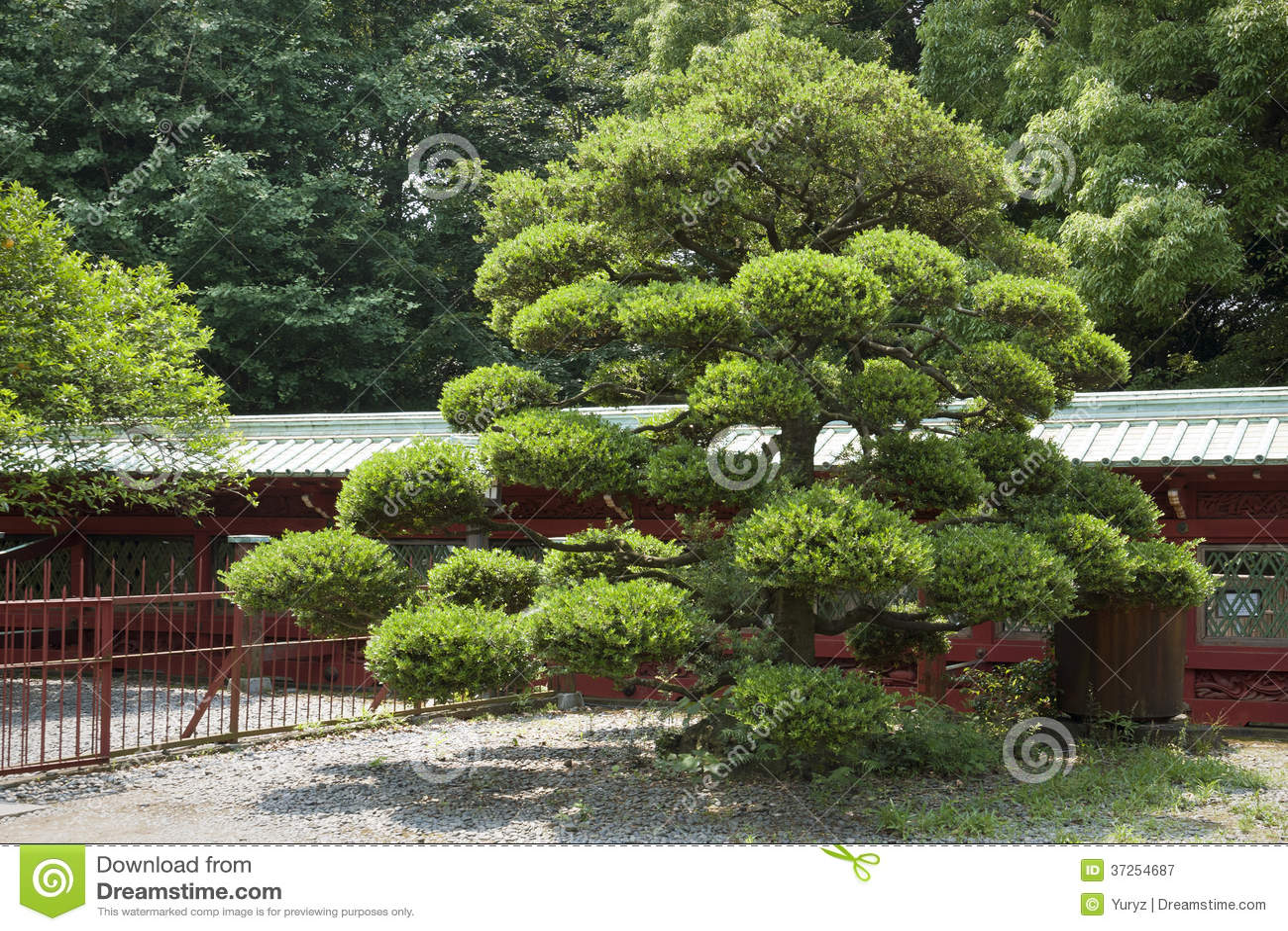 japanische kiefer stockbild bild von kiefer b gel nave 37254687. Black Bedroom Furniture Sets. Home Design Ideas