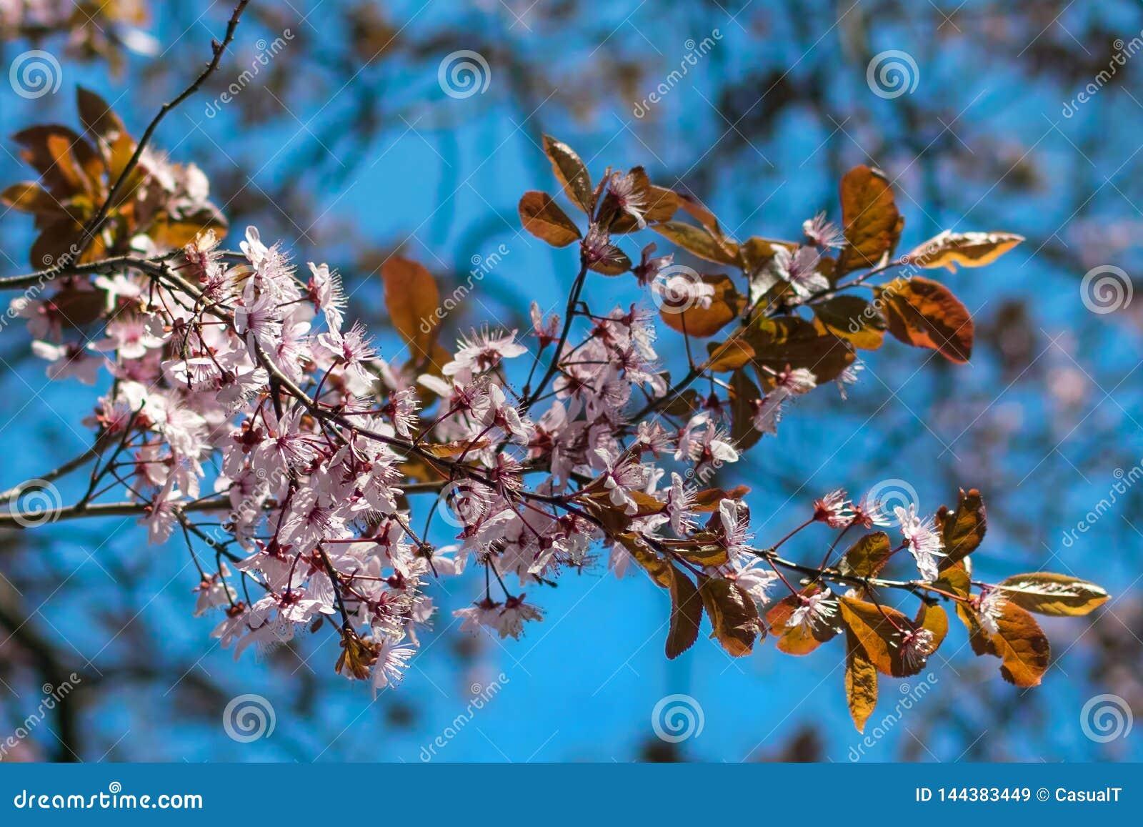 Japanische Kirschblüten gegen einen hellblauen bokeh Hintergrund