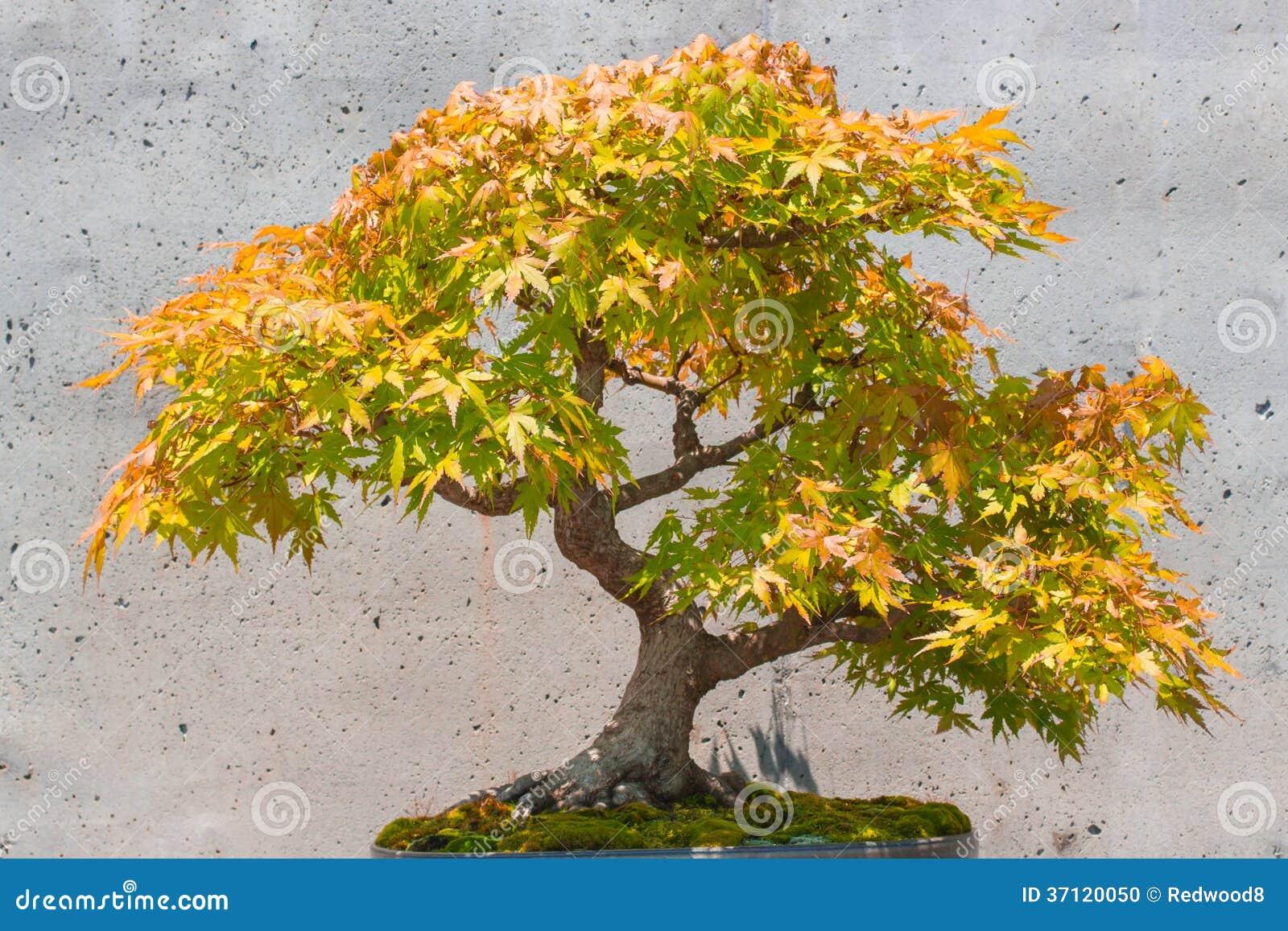 japanischer ahorn bonsai baum stockfoto bild 37120050. Black Bedroom Furniture Sets. Home Design Ideas