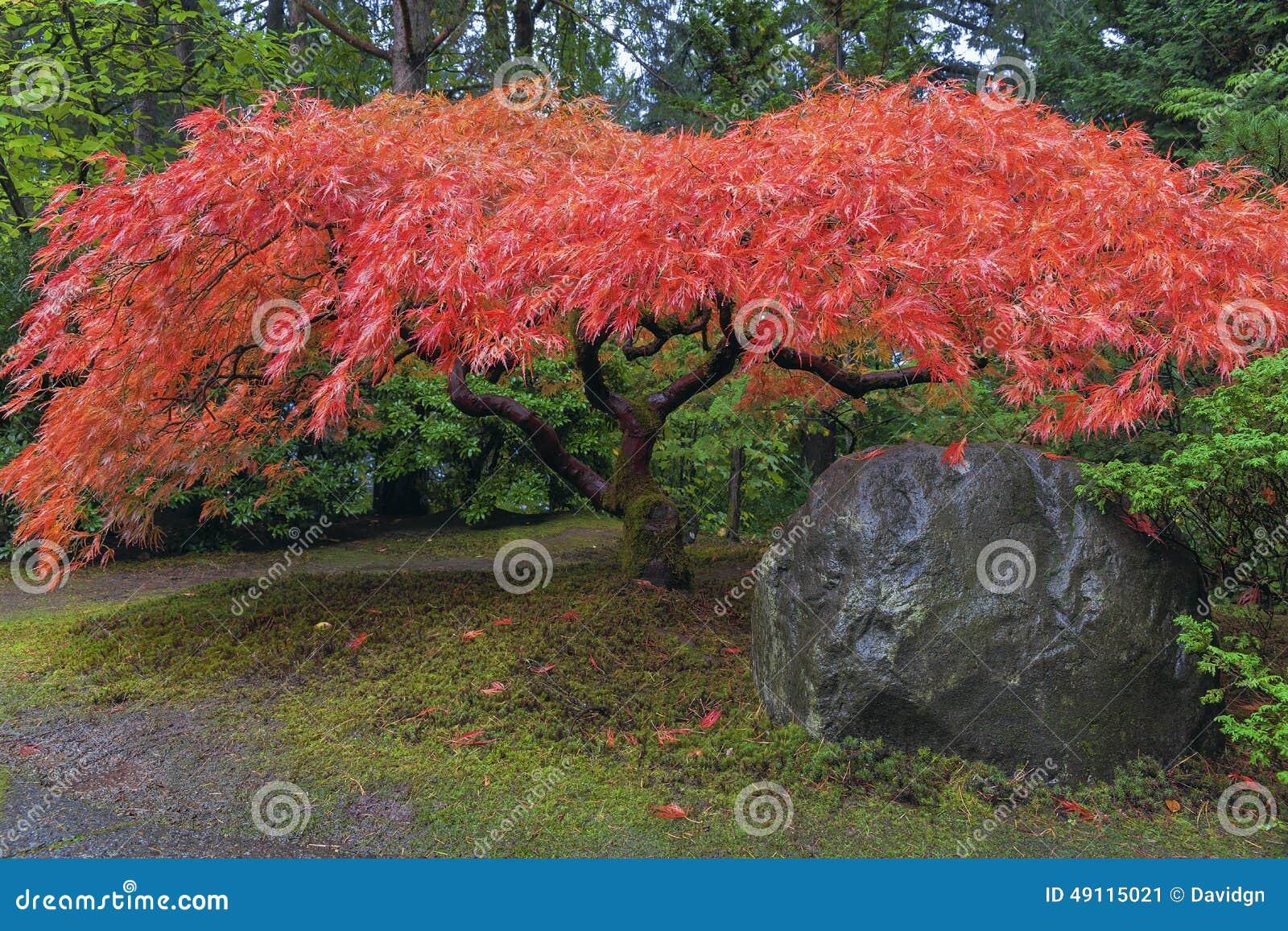 japanischer ahornbaum durch felsen im herbst stockfoto. Black Bedroom Furniture Sets. Home Design Ideas