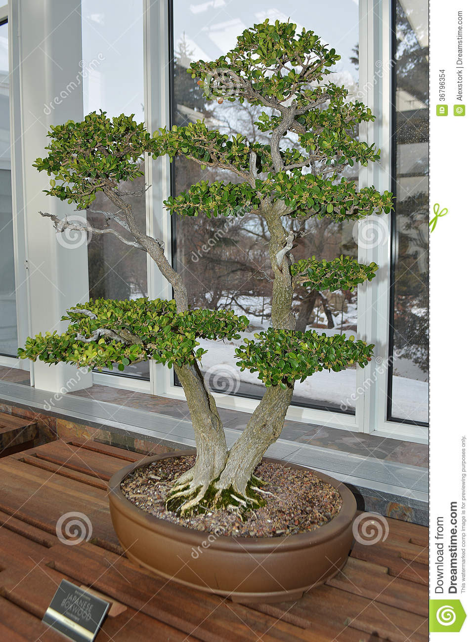 japanischer buchsbaum bonsai baum stockfoto bild von. Black Bedroom Furniture Sets. Home Design Ideas
