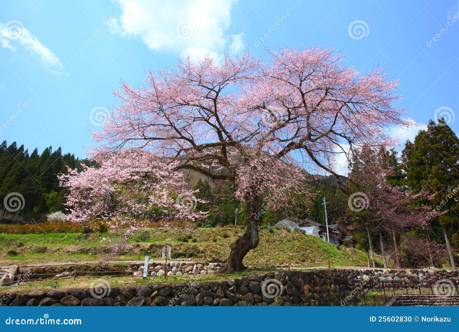 japanischer kirschbaum stockfoto bild von symbol fr hjahr 25602830. Black Bedroom Furniture Sets. Home Design Ideas