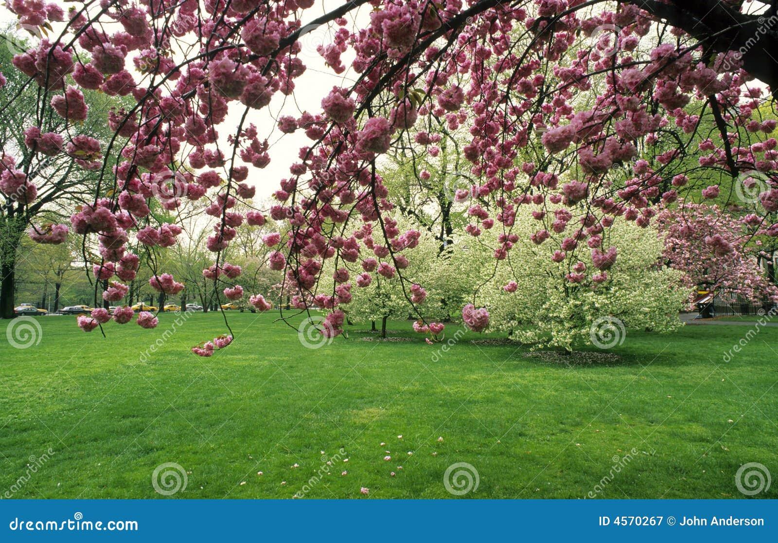 japanischer kirschbaum stockbild bild von baum manhattan. Black Bedroom Furniture Sets. Home Design Ideas