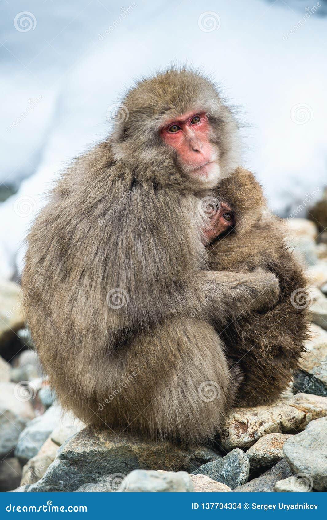 Japanischer Makaken mit einem Jungen im kalten Winterwetter Jigokudani-Park Nagano Japan Der wissenschaftliche Name des japanisch