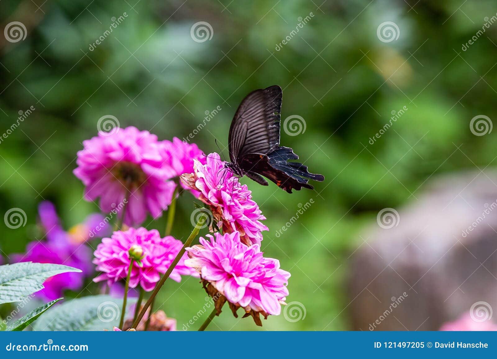 Japanischer schwarzer Flitterschmetterling auf einer Blume