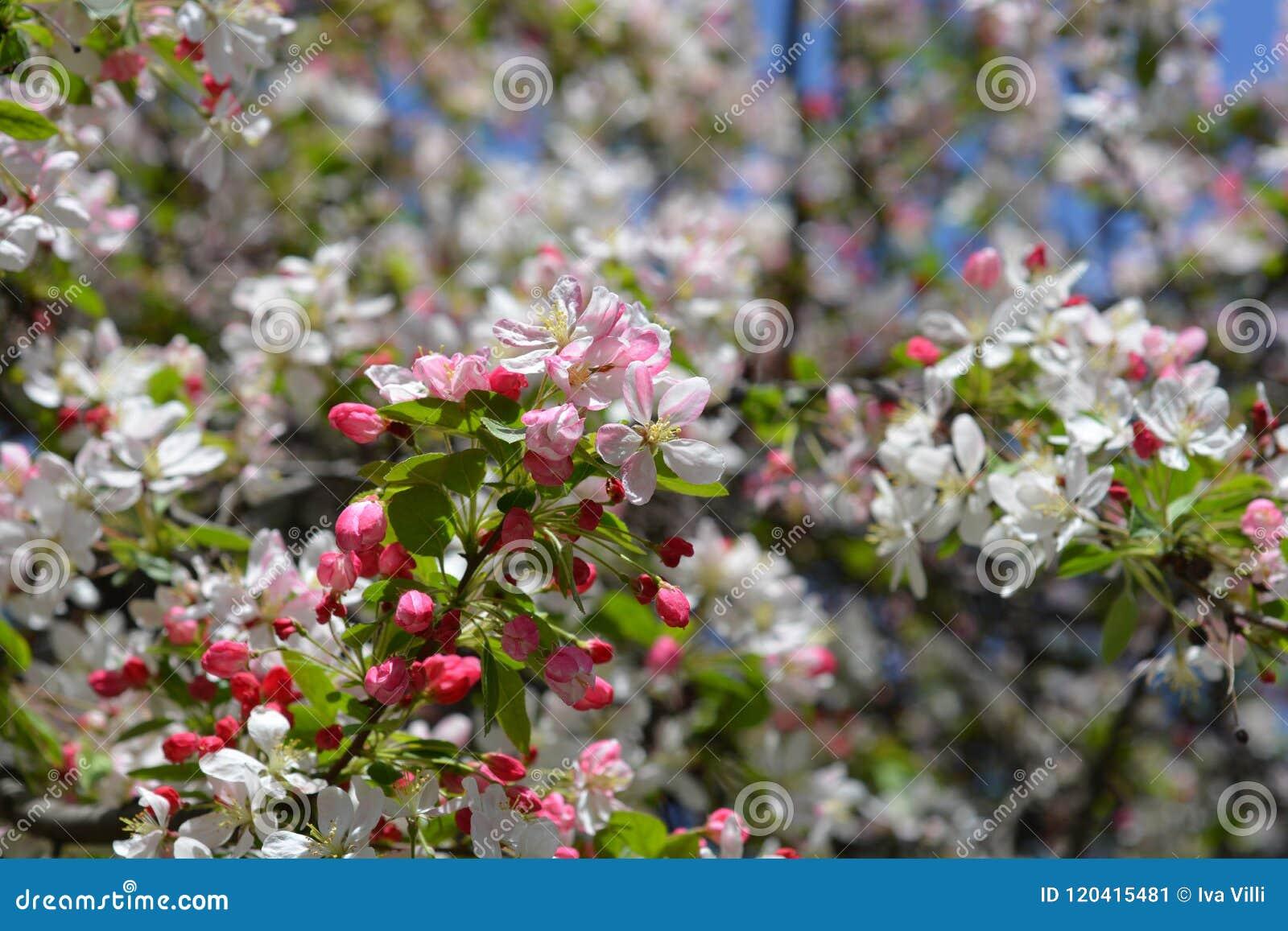 Japanner die crabapple bloeien