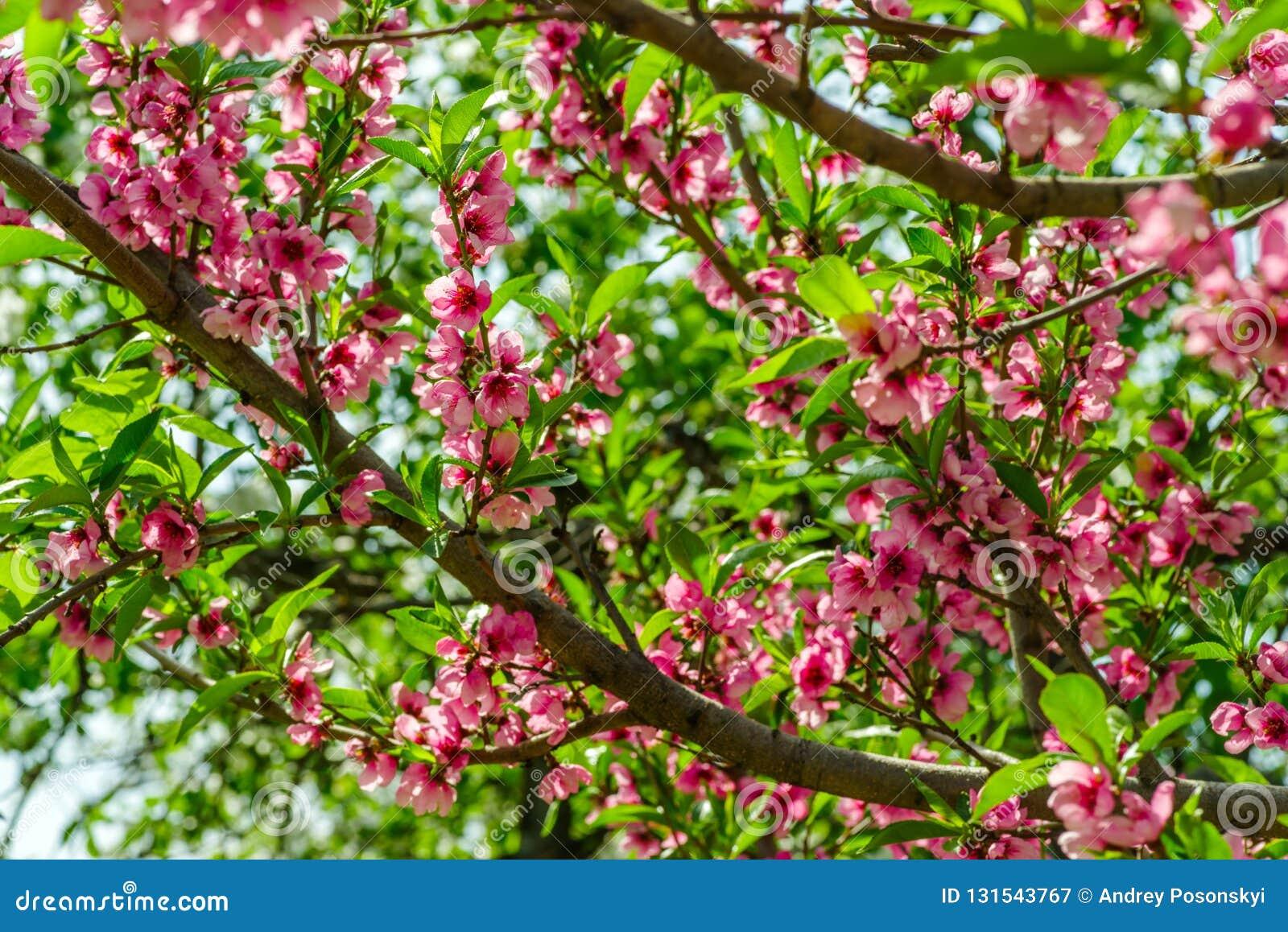 Japanse bloemen van appel op de takken in de lente