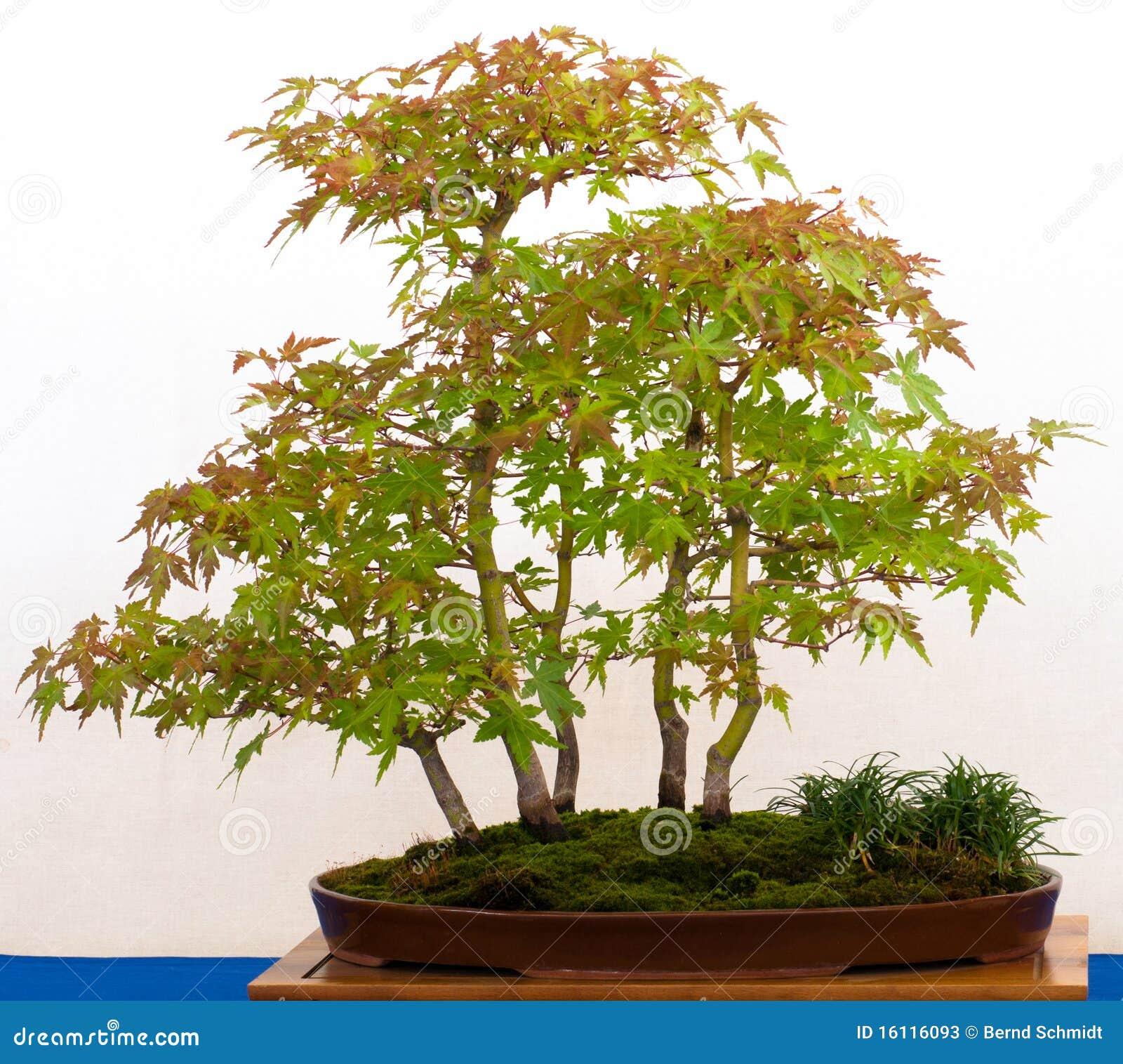 japanse esdoornboom als bonsai stock foto 39 s afbeelding. Black Bedroom Furniture Sets. Home Design Ideas