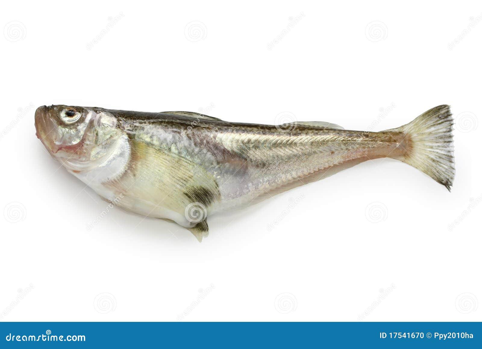 Japansk sailfinsandfish