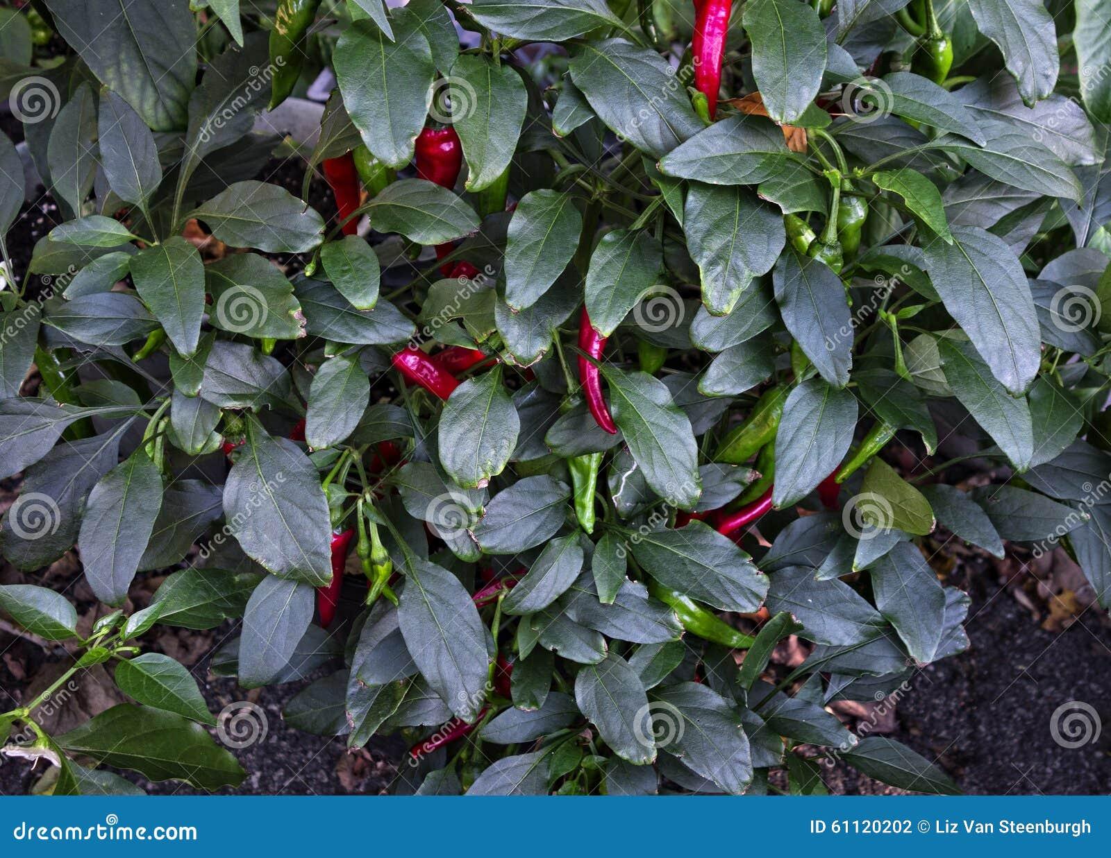 Japończyka Shishito pieprzu roślina