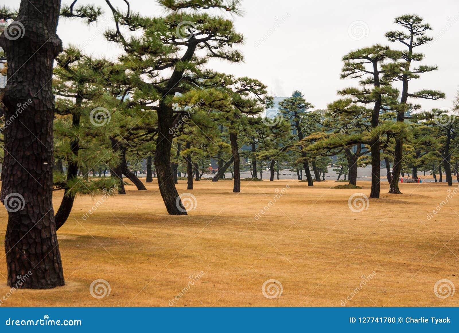 Japońscy drzewa w Toyko, Japonia Blisko Cesarskiego pałac