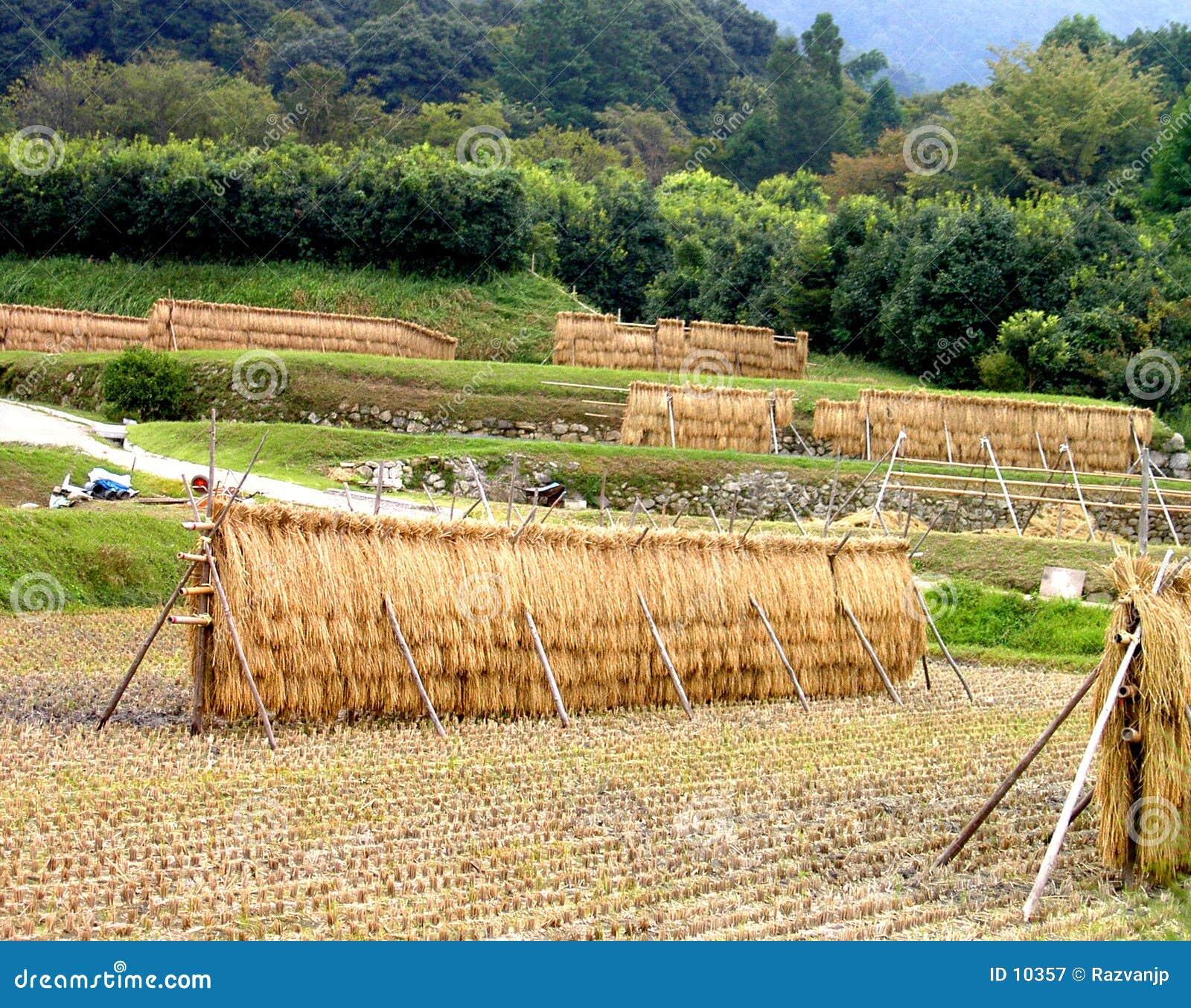 Japońscy polowe ryżu