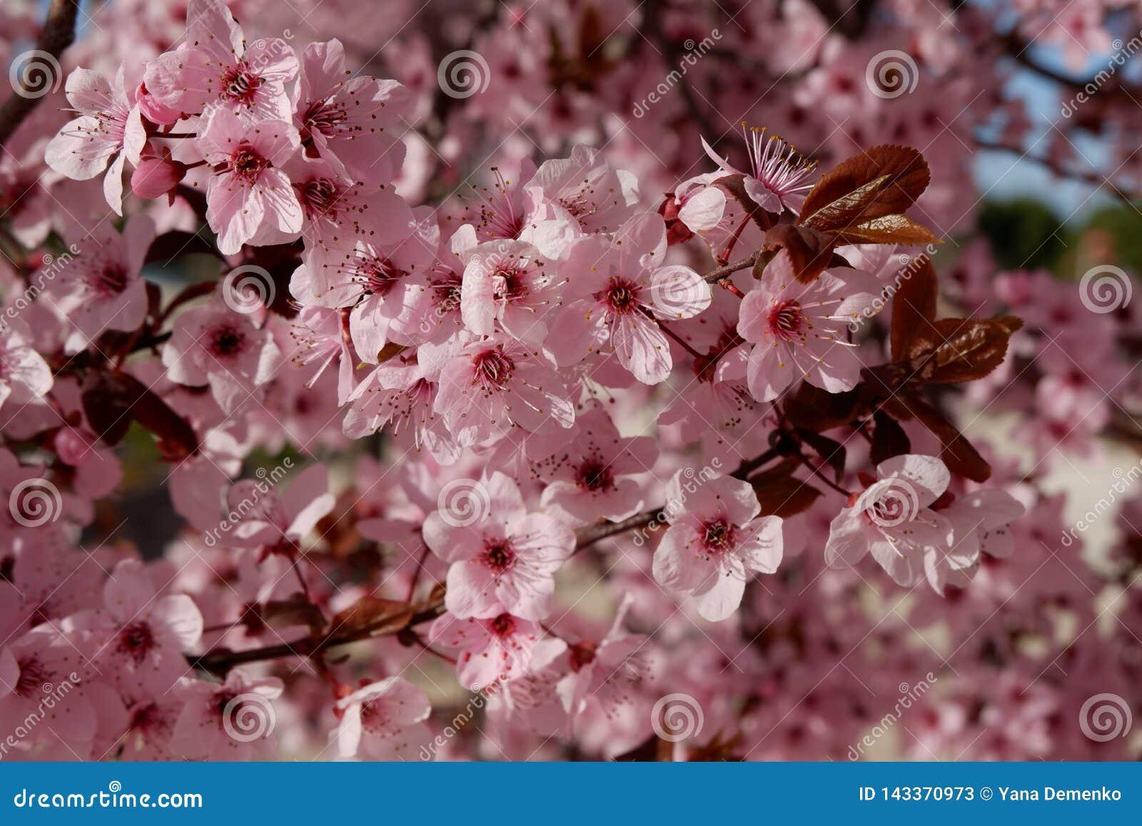 Japońska śliwka lub czereśniowy drzewo w okwitnięciu