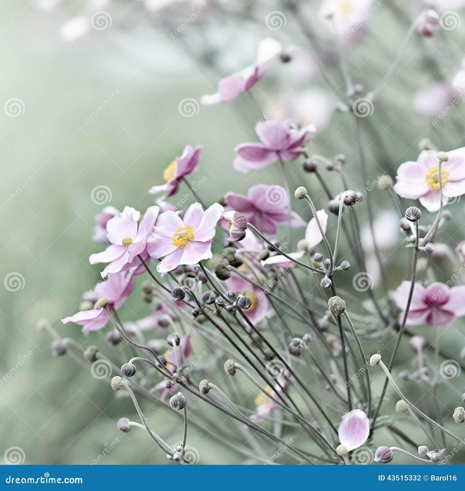 Japoński anemon (windflower)