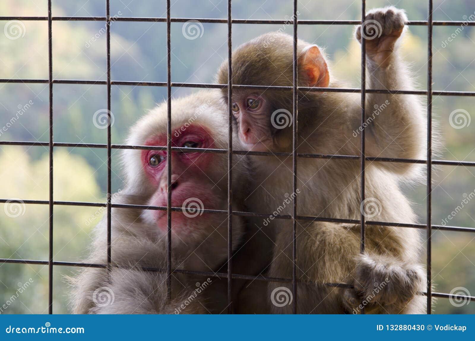 Japoński makak - dorosły z dzieckiem