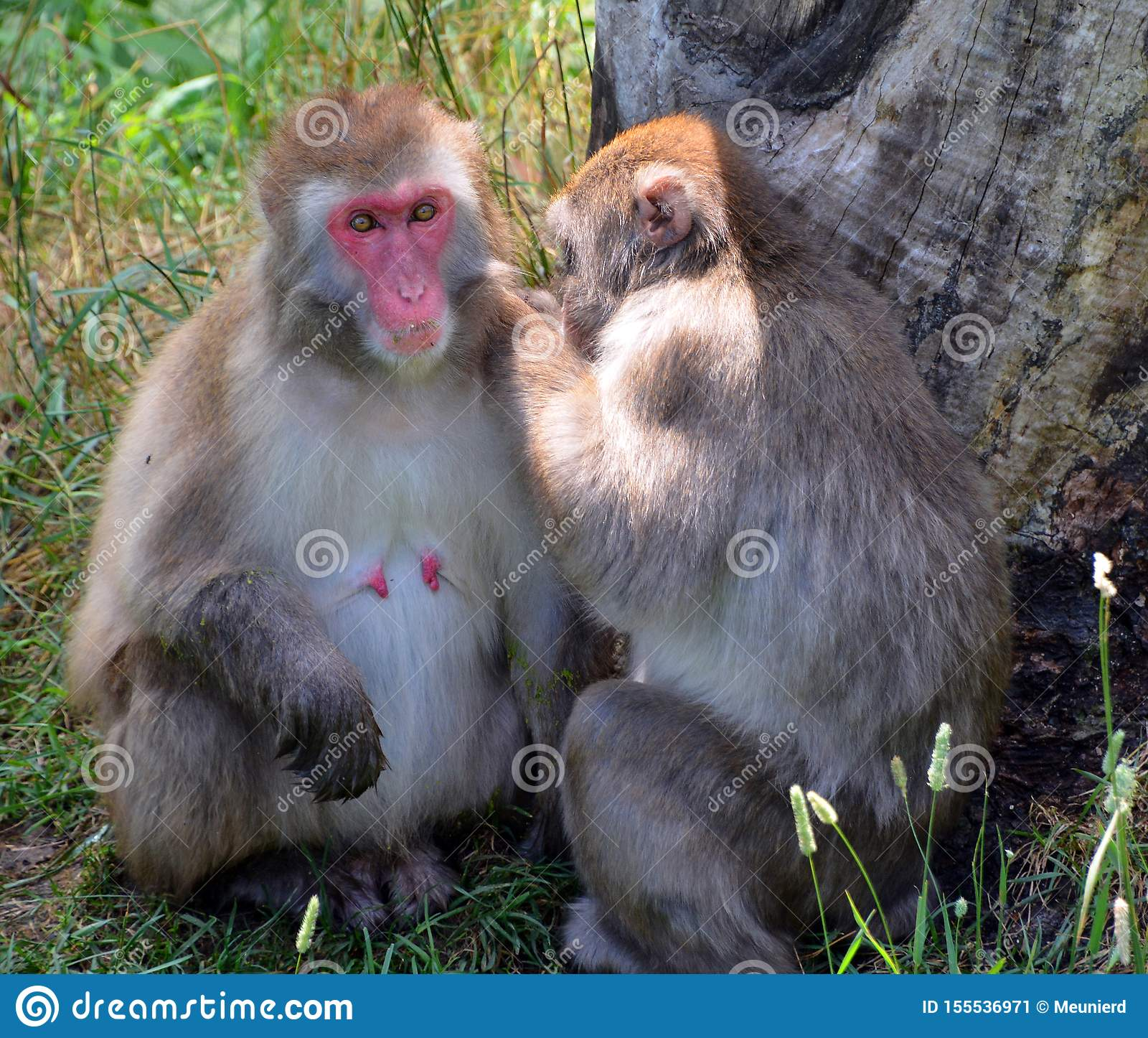 Japoński makaka Macaca fuscata,