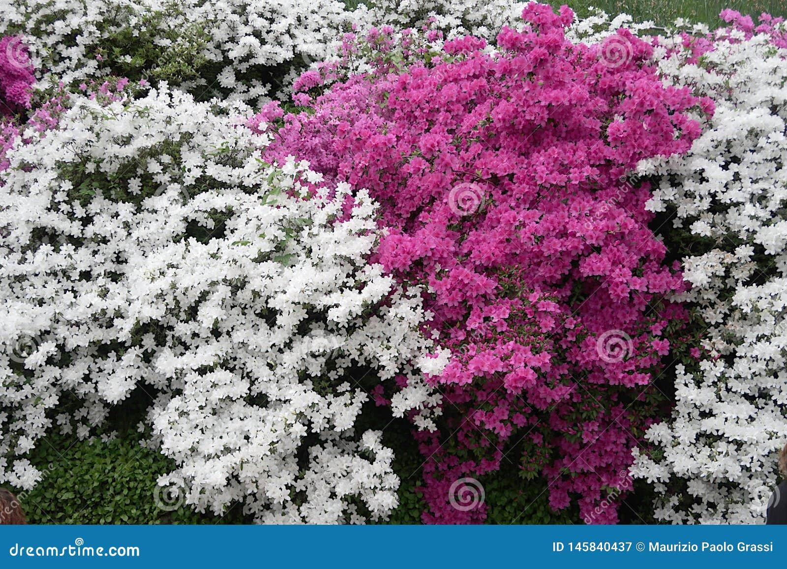 Japo?scy azalia kwiaty