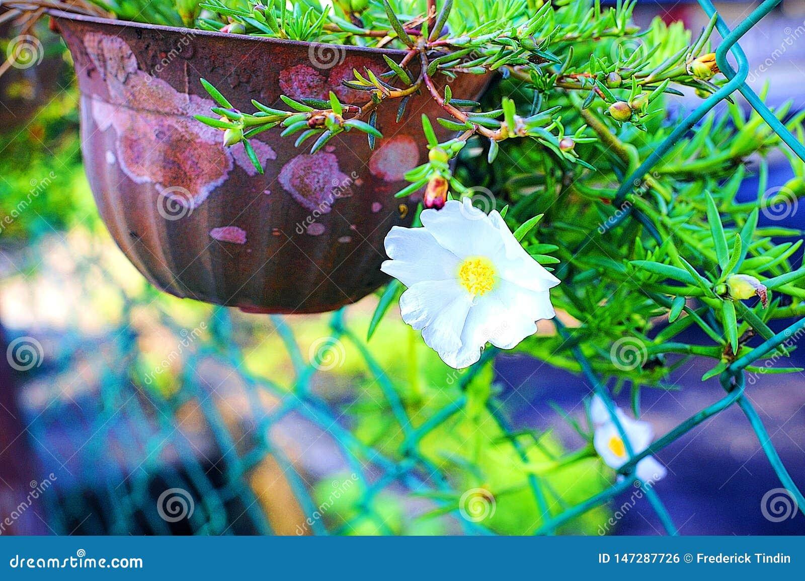 Japonés blanco hermoso Rose By The Gate