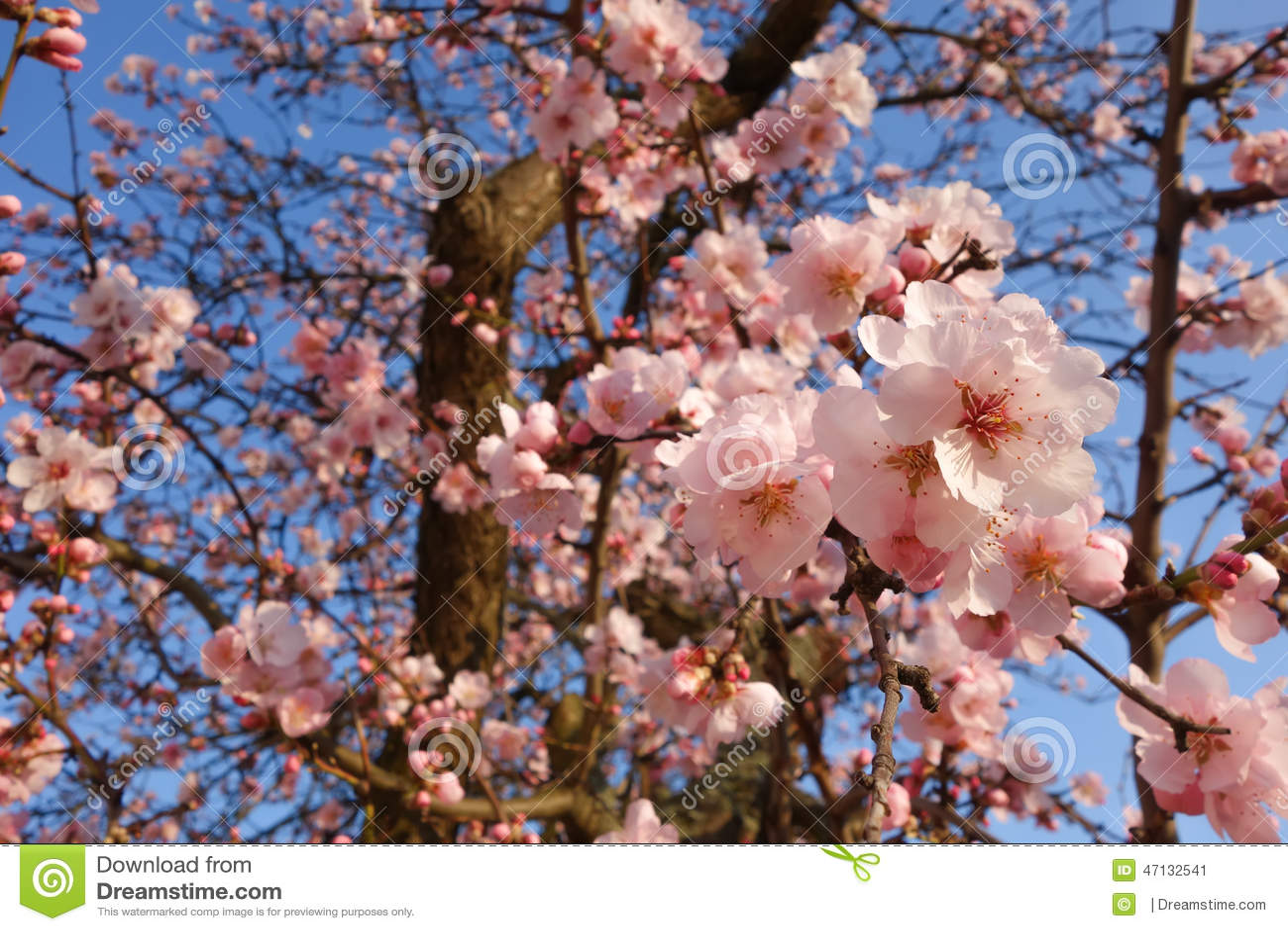 Japonés Cherry Blossom Tree en primavera